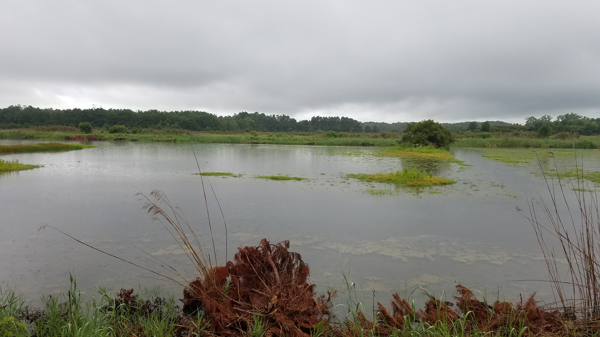 Shorebird Pond / 18 Aug / Princess Anne WMA Whitehurst Tract