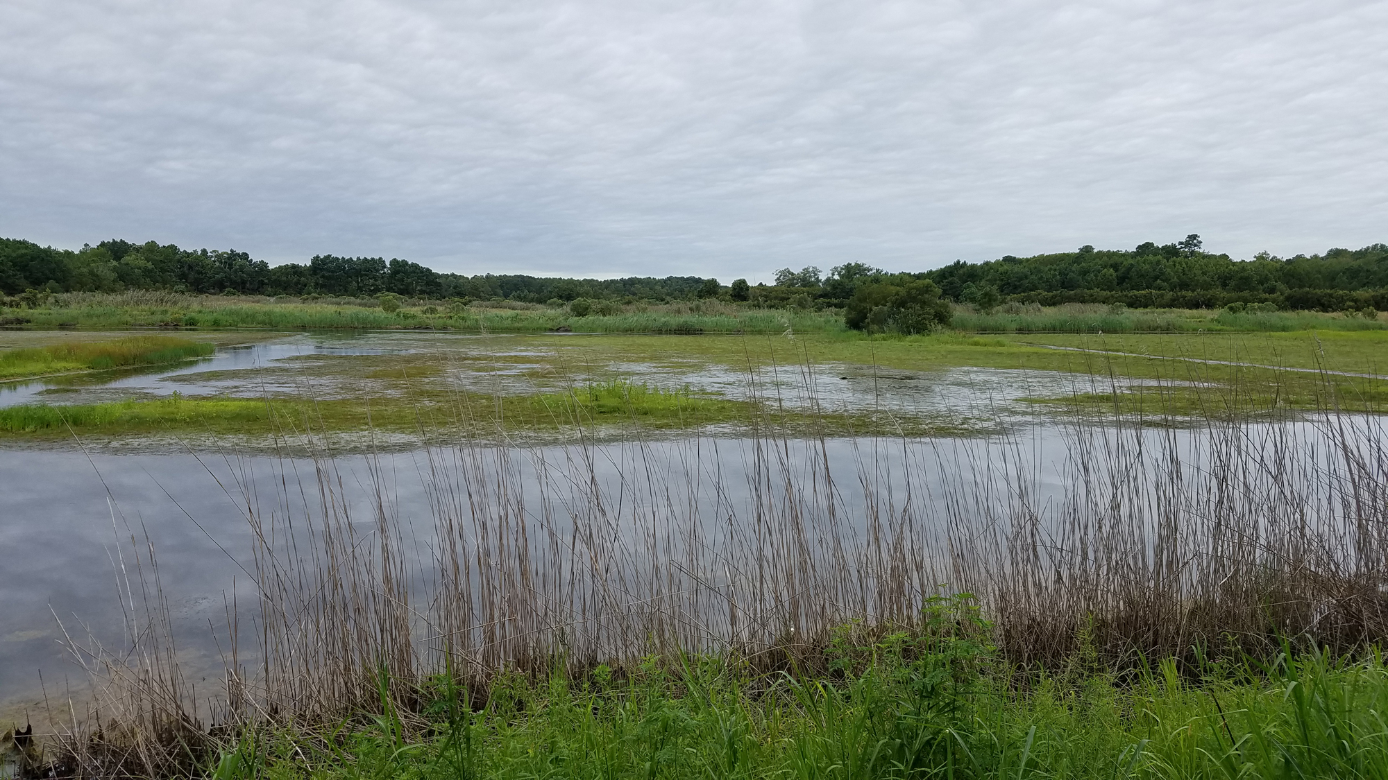 Shorebird Pond / 25 Aug / Princess Anne WMA Whitehurst Tract