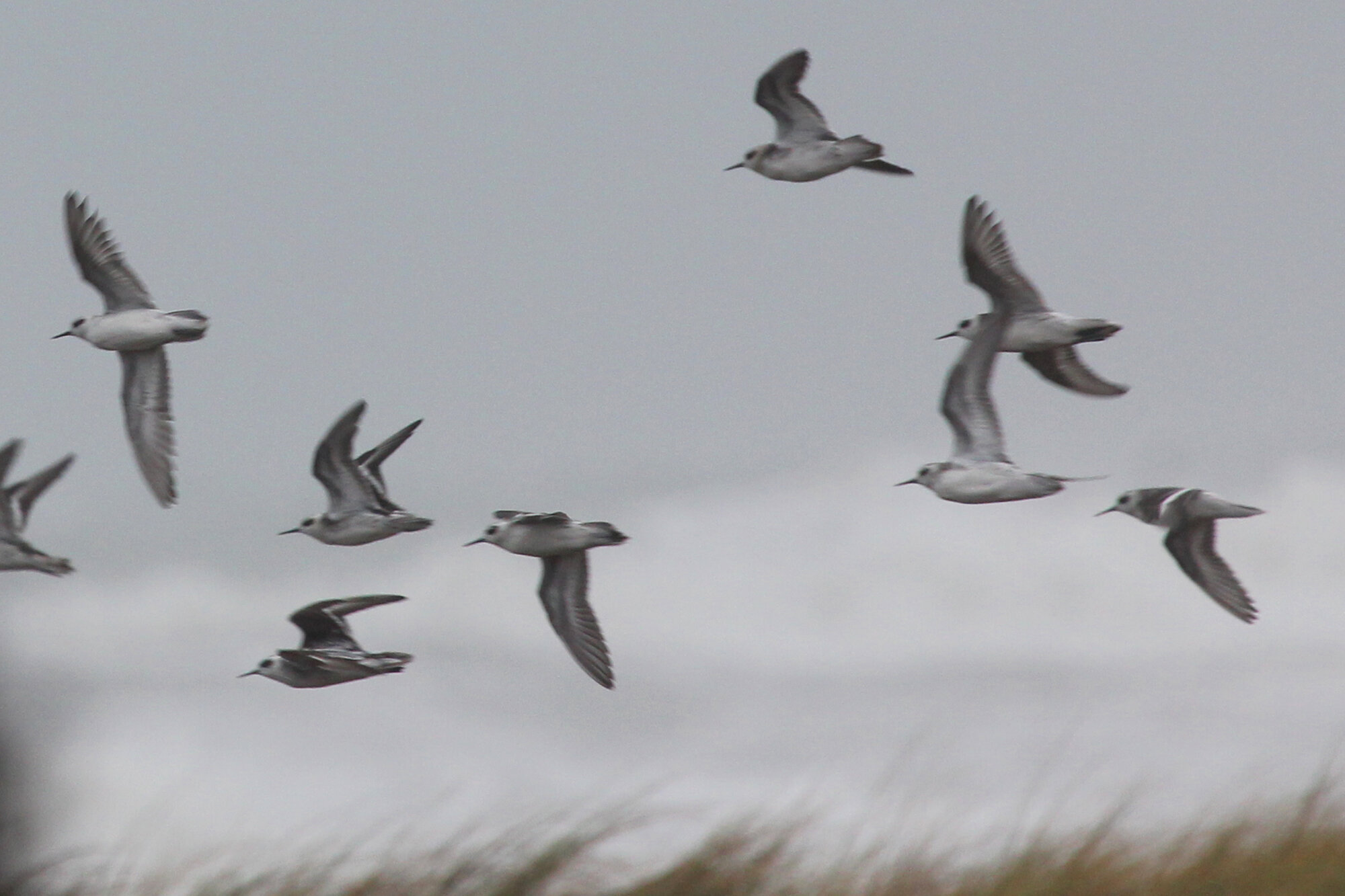 Red-necked Phalaropes / Fort Story JEB / 6 Sep