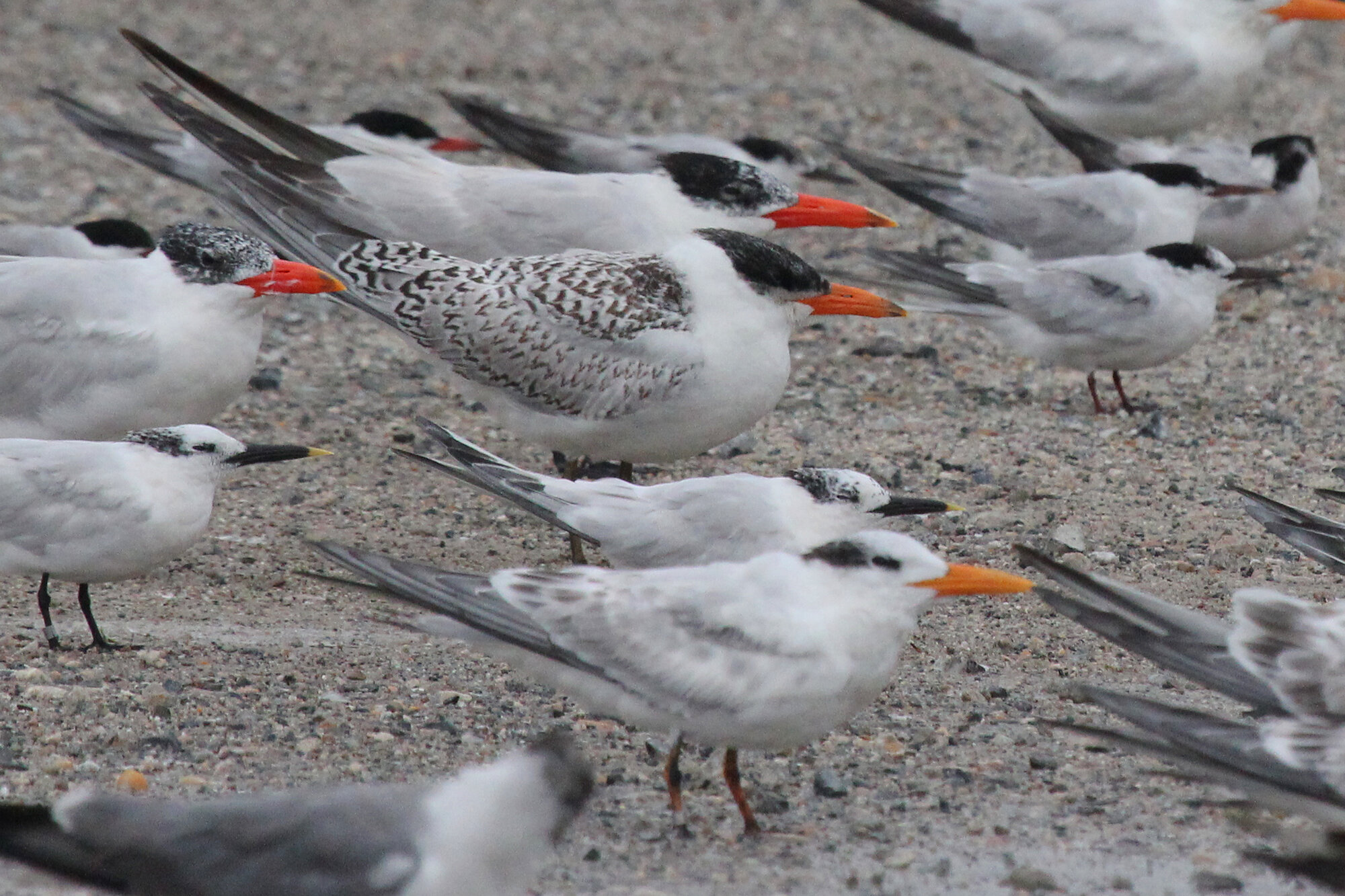 Mixed tern flock on the large storm roost at Lynnhaven Boat Ramp during Hurricane Dorian's passage; please click this photo to advance to the next, all of these photographs were taken on 6 Sep during the storm!