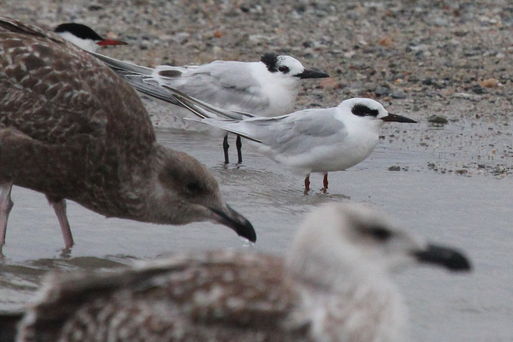 Common, Forster's Terns & Laughing Gull / Lynnhaven Boat Ramp / 6 Sep