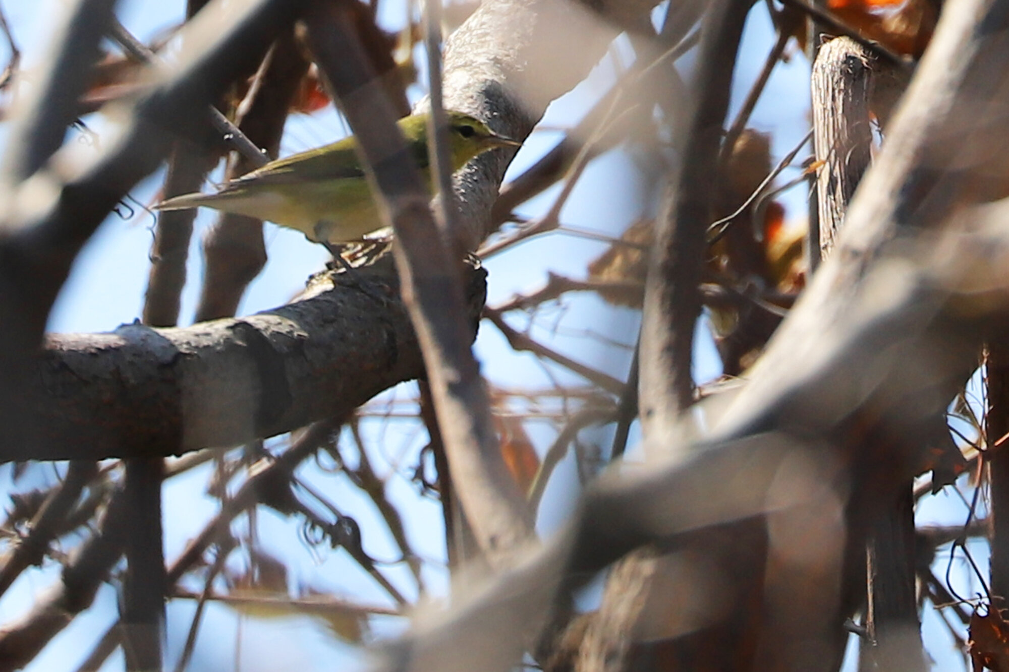 TENNESSEE WARBLER at Back Bay NWR on 22 Sep; please click this photo to advance to the next, each of these are rarities from September!