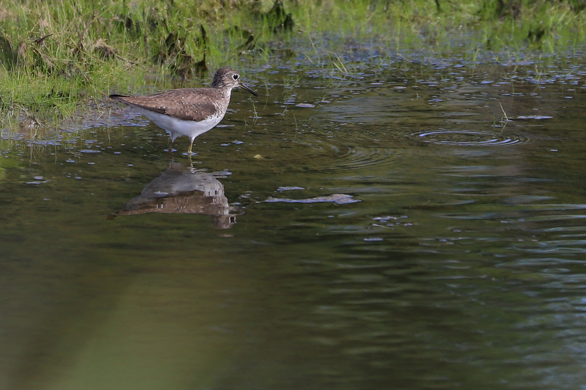 Solitary Sandpiper / Princess Anne WMA Whitehurst Tract / 1 Sep