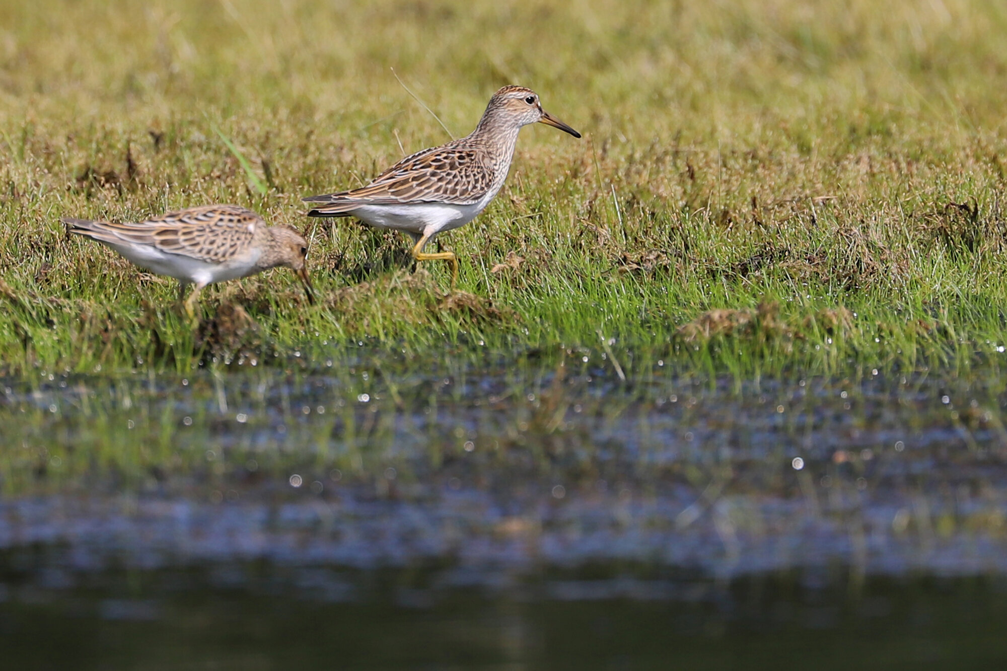 Pectoral Sandpipers / Princess Anne WMA Whitehurst Tract / 1 Sep