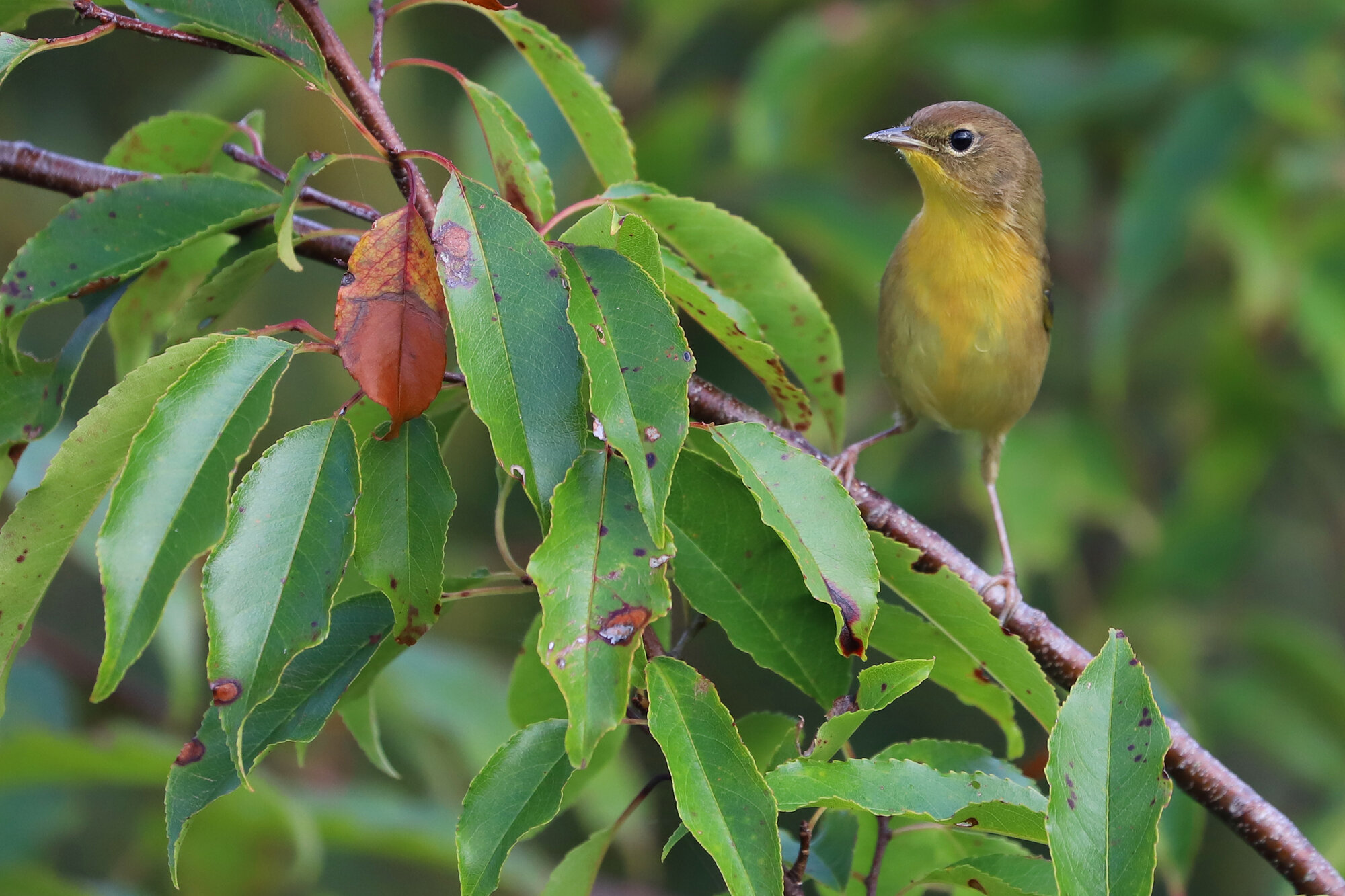 Common Yellowthroat / Princess Anne WMA Whitehurst Tract / 7 Sep