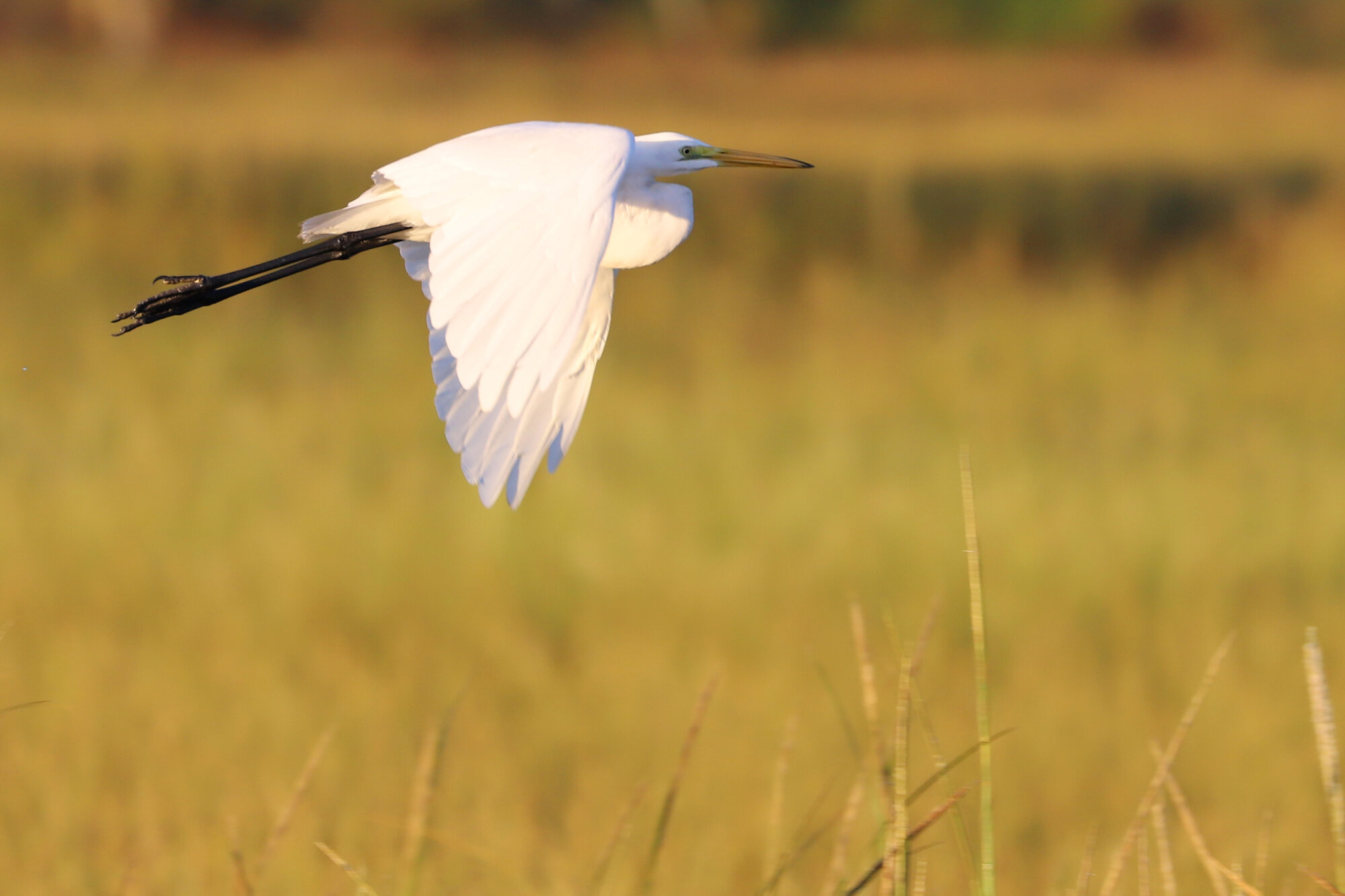 Great Egret / Pleasure House Point NA / 21 Sep