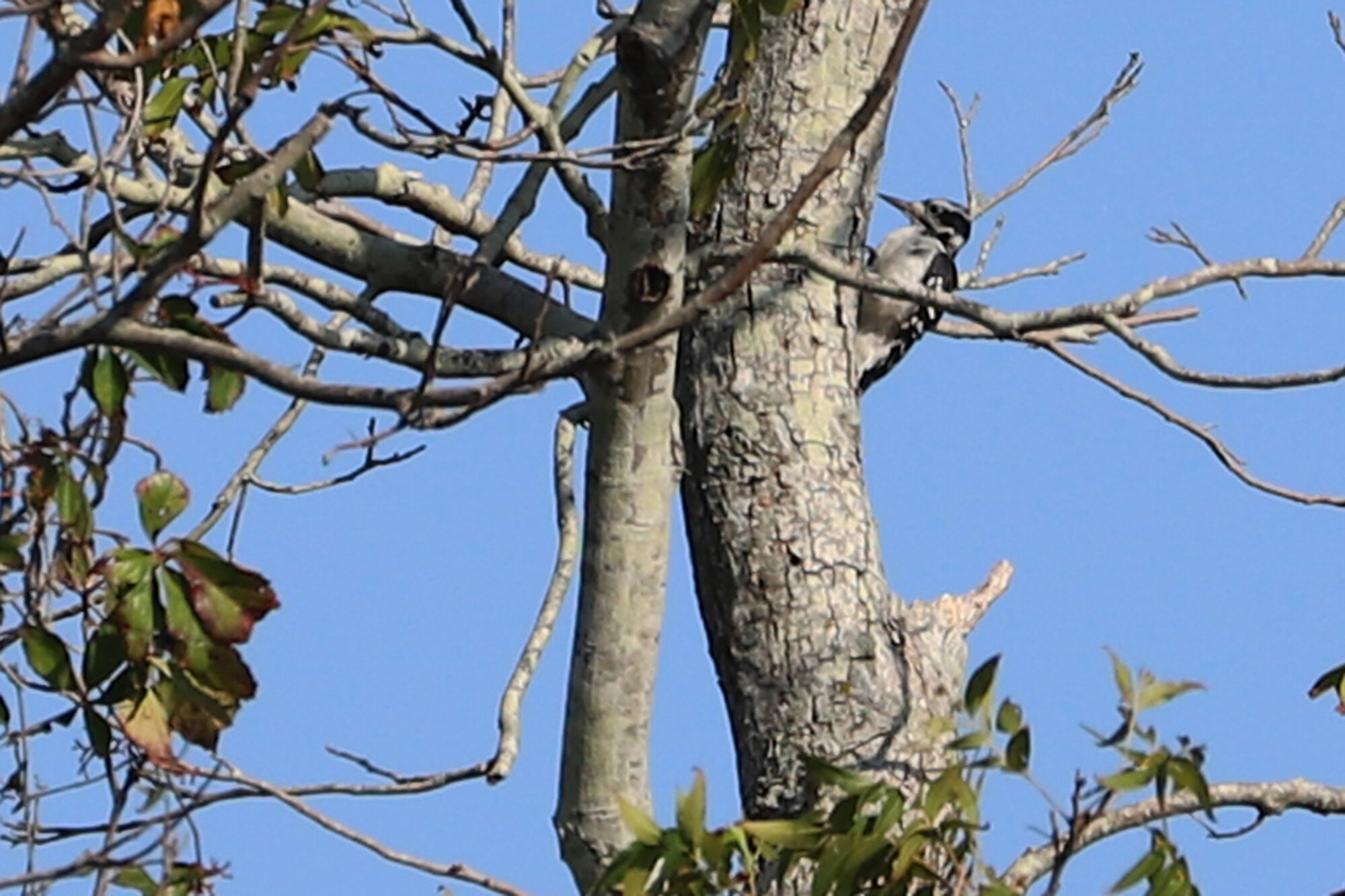 Hairy Woodpecker / Princess Anne WMA Whitehurst Tract / 1 Sep