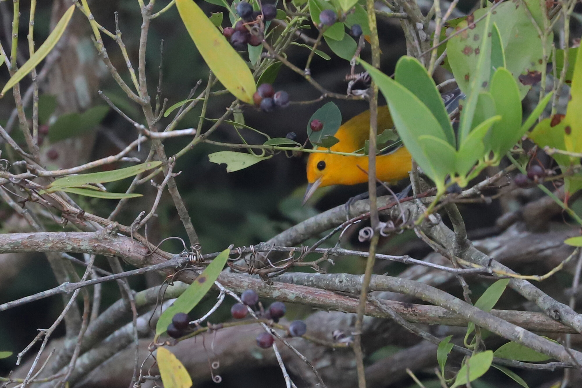 Prothonotary Warbler / Back Bay NWR / 1 Sep