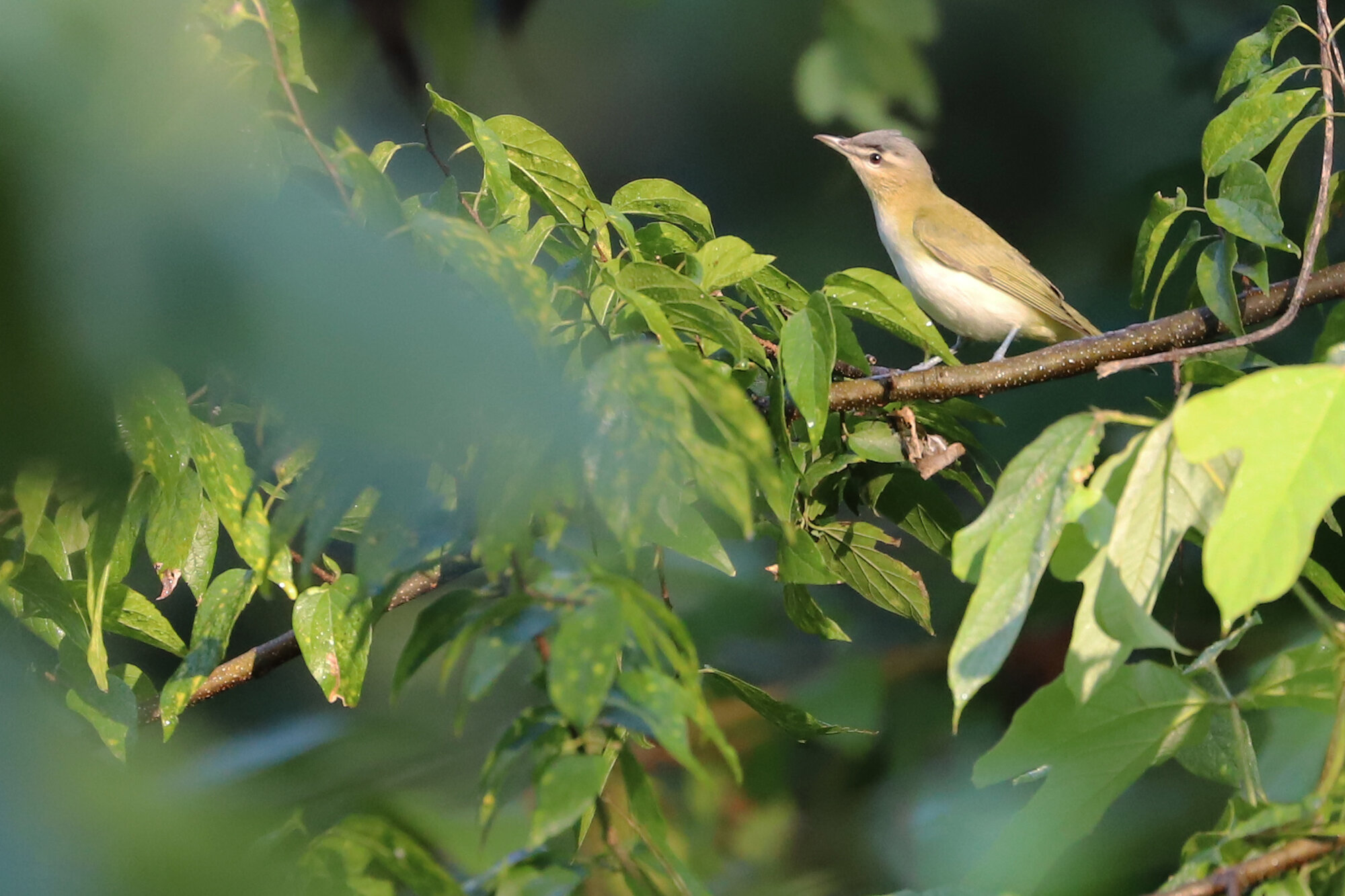 Red-eyed Vireo / Shore Drive Bike Path / 21 Sep