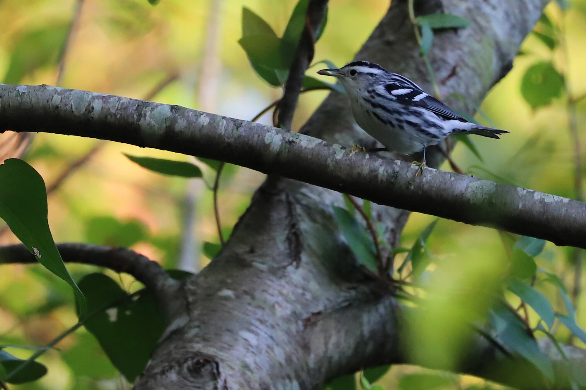 Black-and-white Warbler / Pleasure House Point NA / 7 Sep
