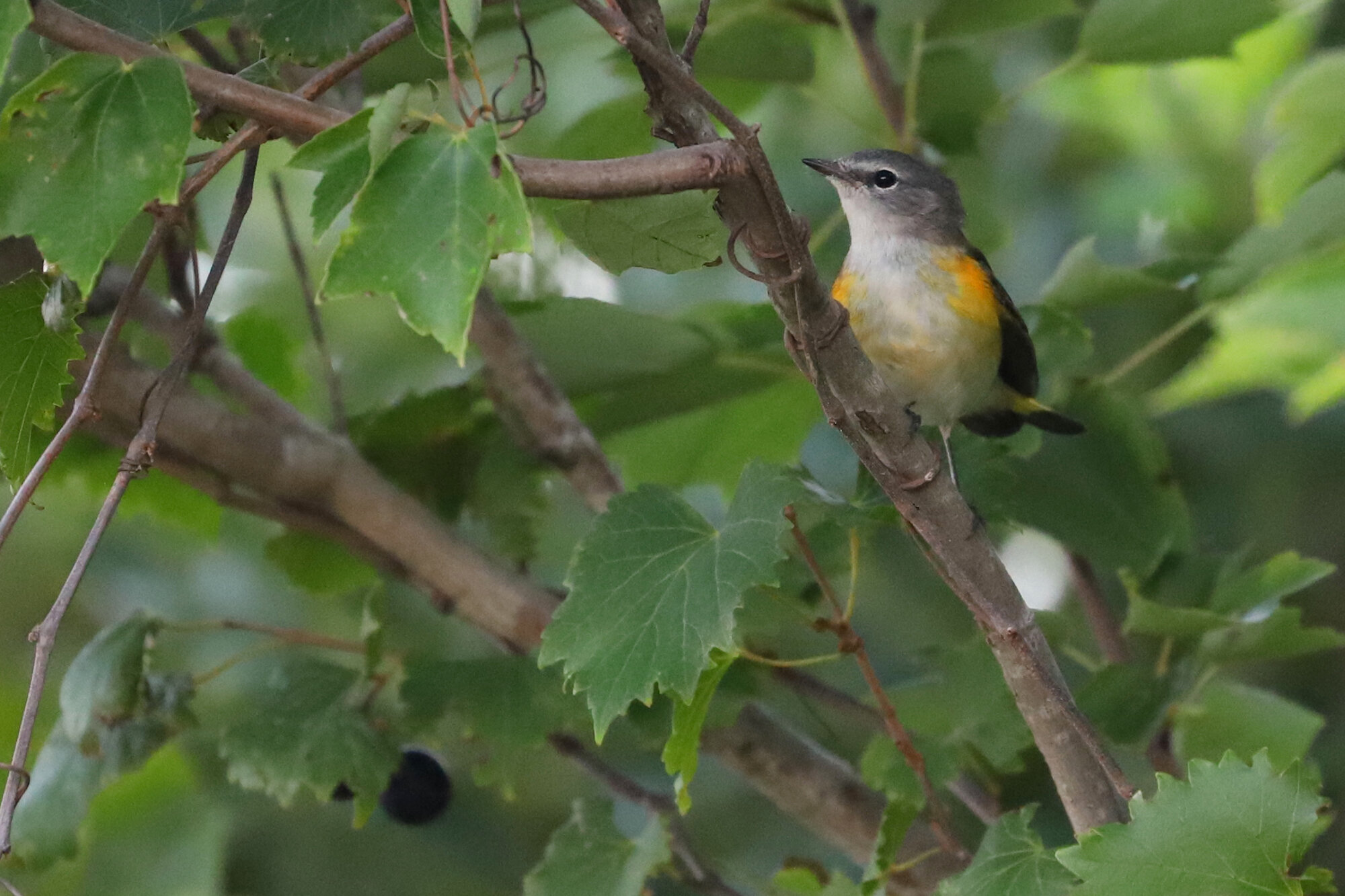 American Redstart at Back Bay NWR on 1 Sep; please click this photo to advance to the next, each of these are transient warblers from September!