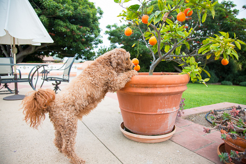 This fur kid is quite the character, always lending a helping hand. Even if that means picking oranges for mom.