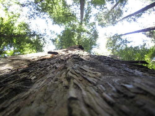 Get close to a redwood for a sense of its height.