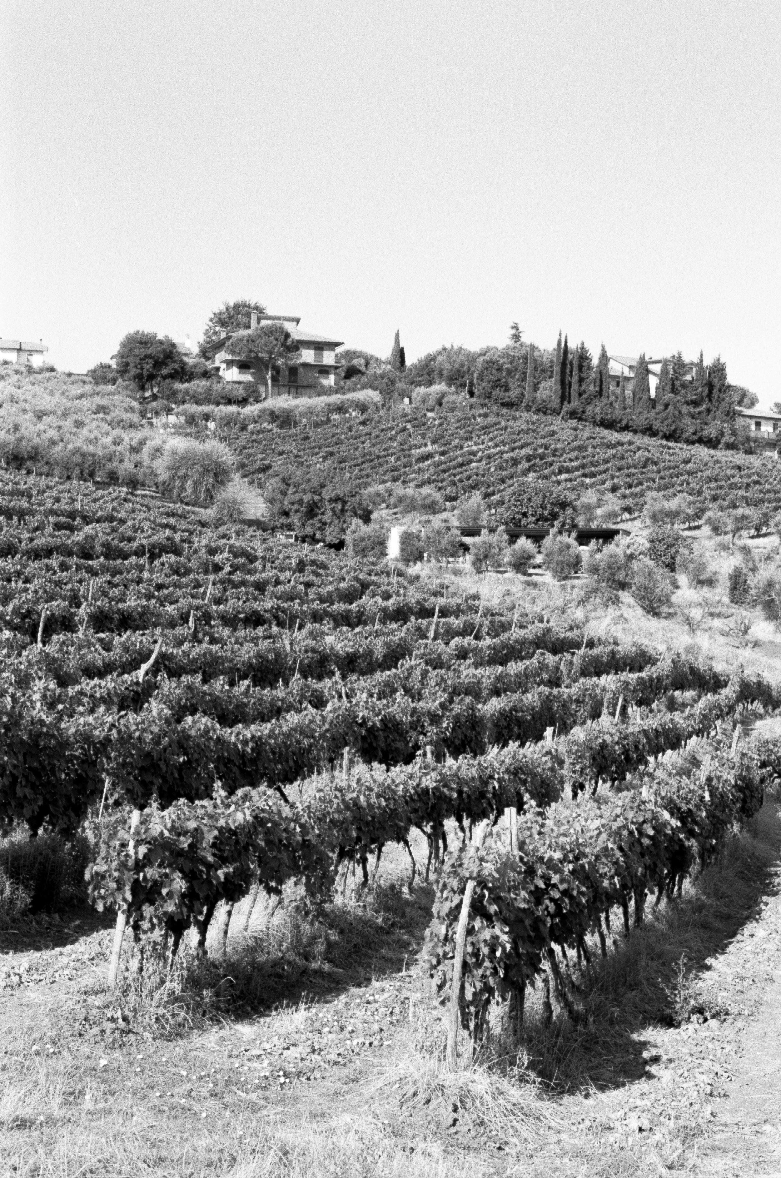 Vineyard, Scipione-Podere Moricci. Montaione. Italy. 2019.