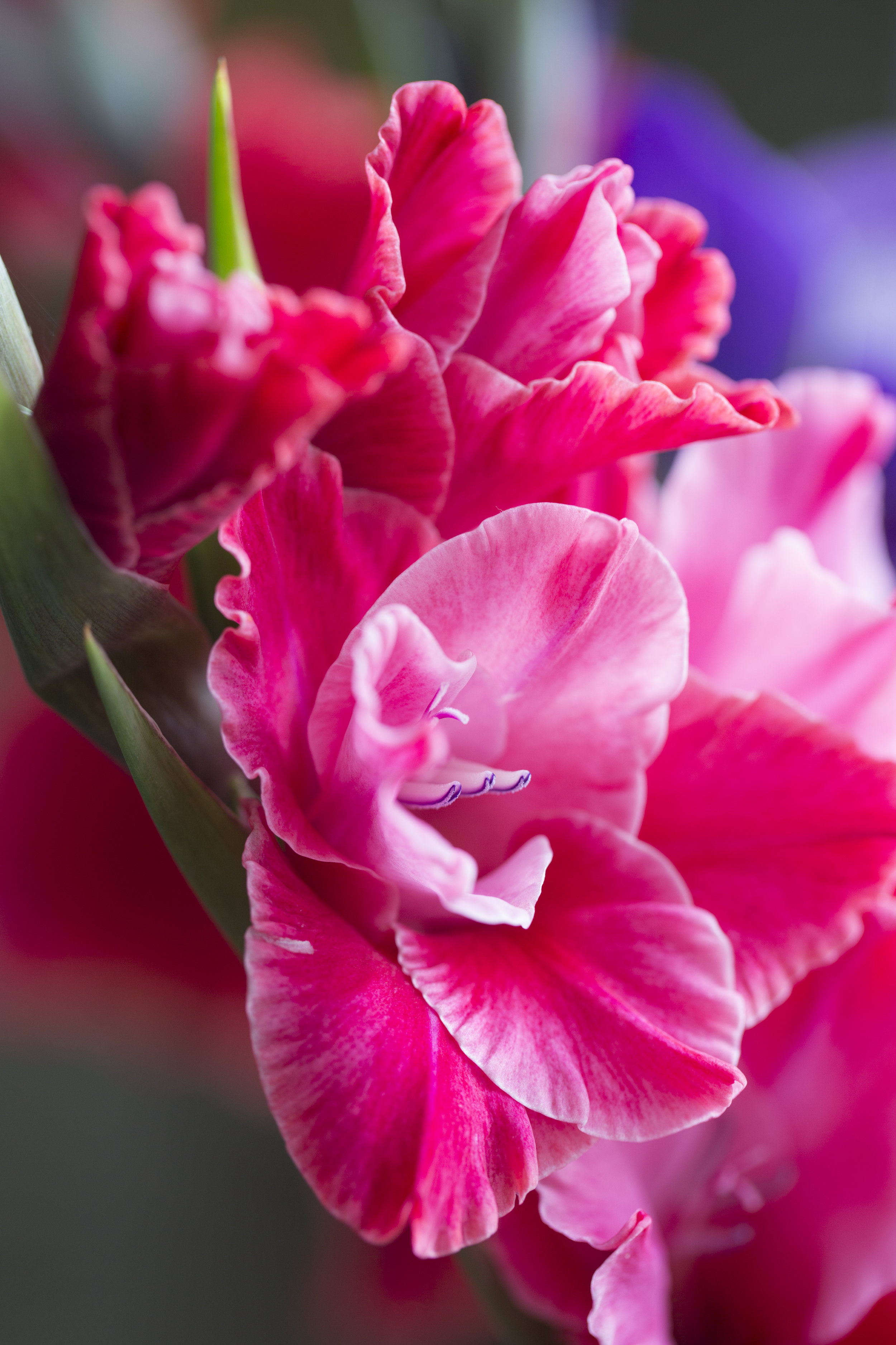 Gladiolen-bunt-16.jpg