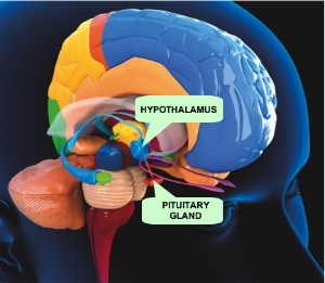The hypothalamus and pituitary glands are critical to the body's endocrine system.  This sytem controls hunger, eating behaviors, body temperature, thirst, sleep, mood, and sex drive.