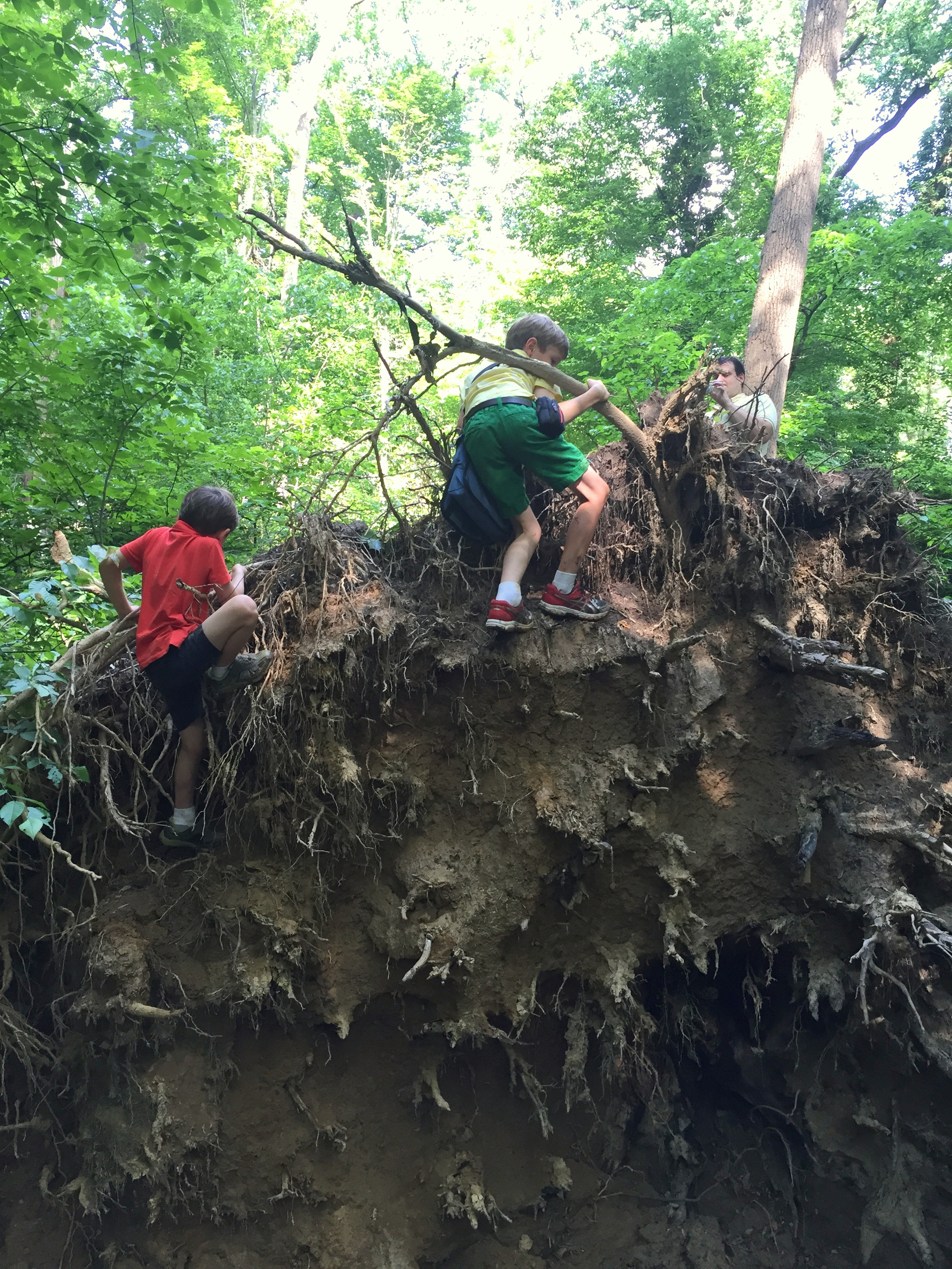 scaling a downed tree's root ball