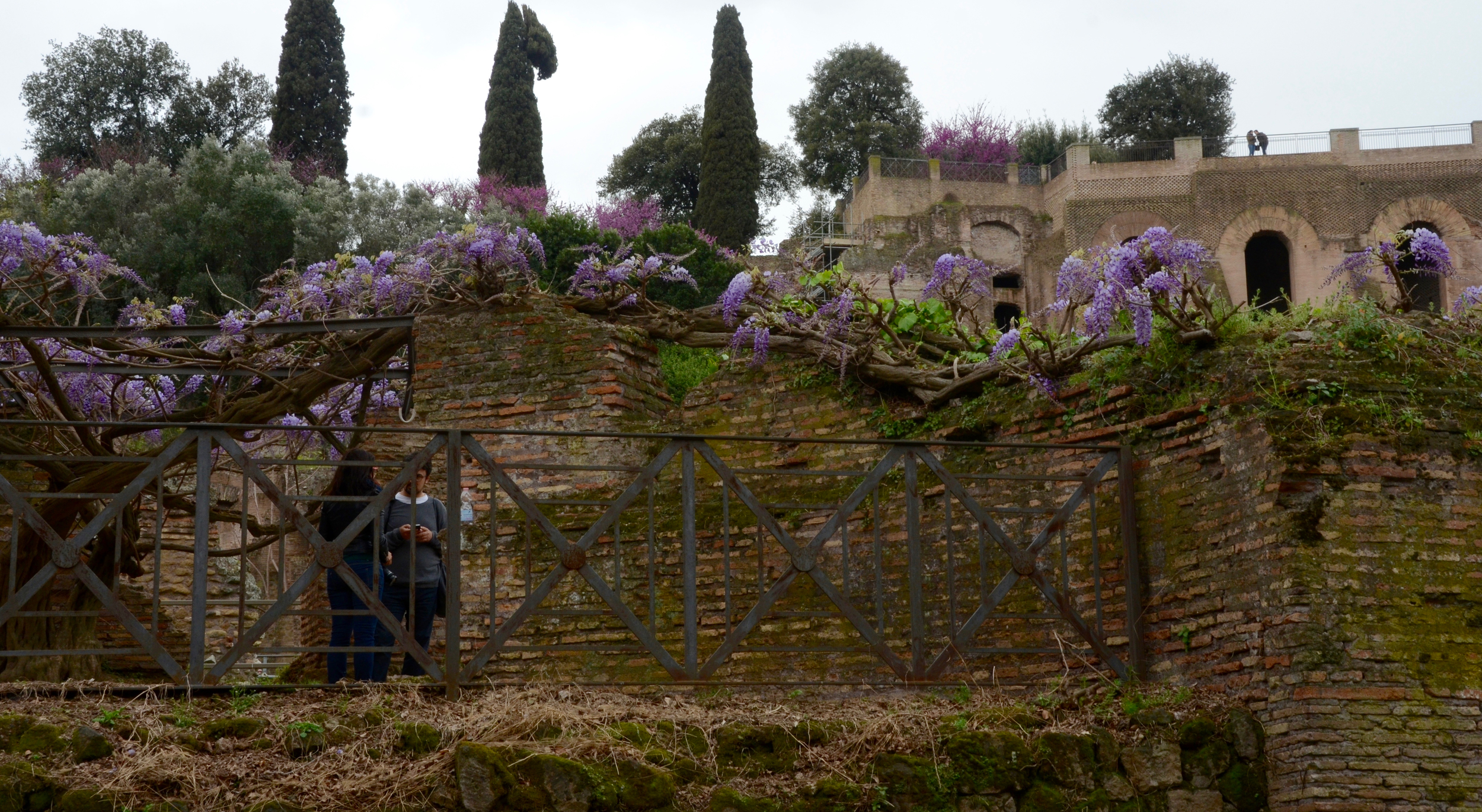 Wisteria vines along the Roman Forum remains