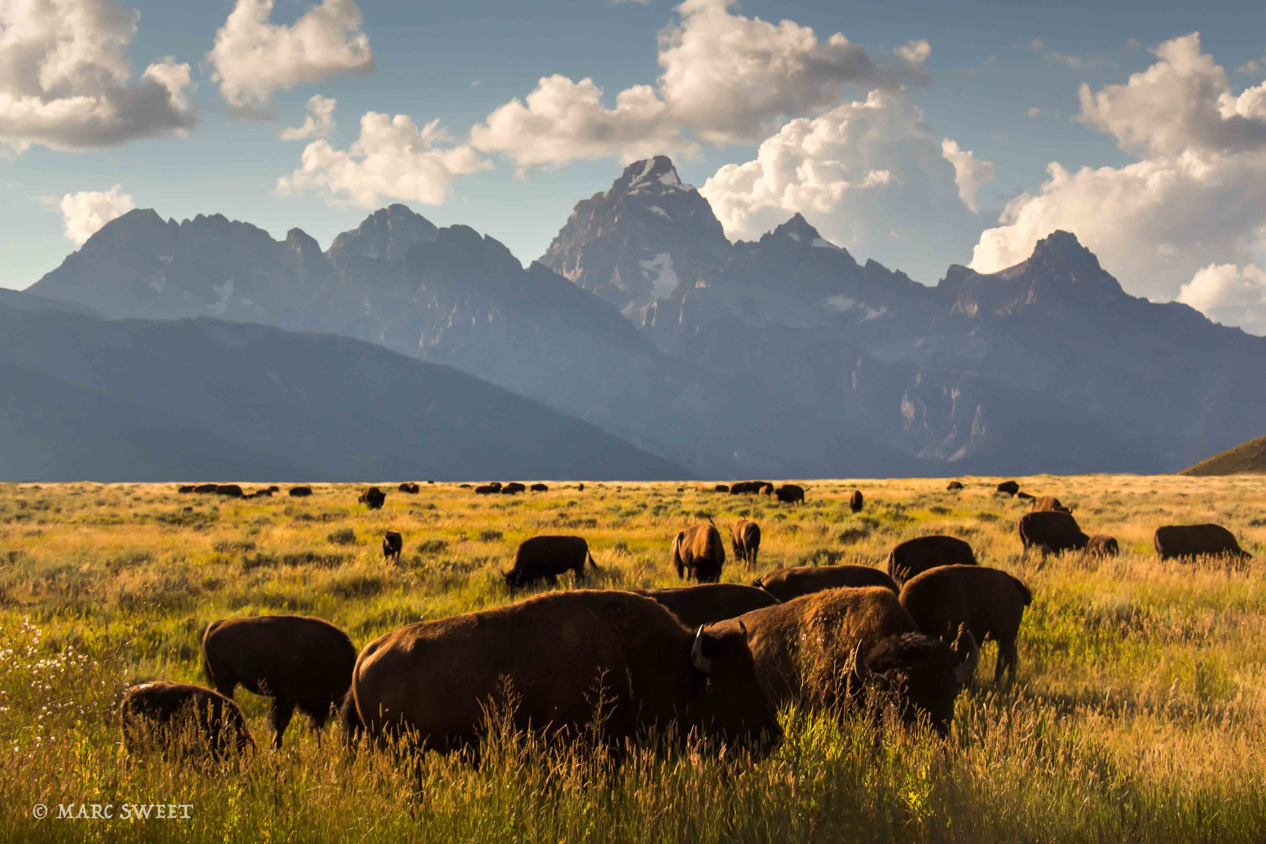 bison tetons-Edit.jpg