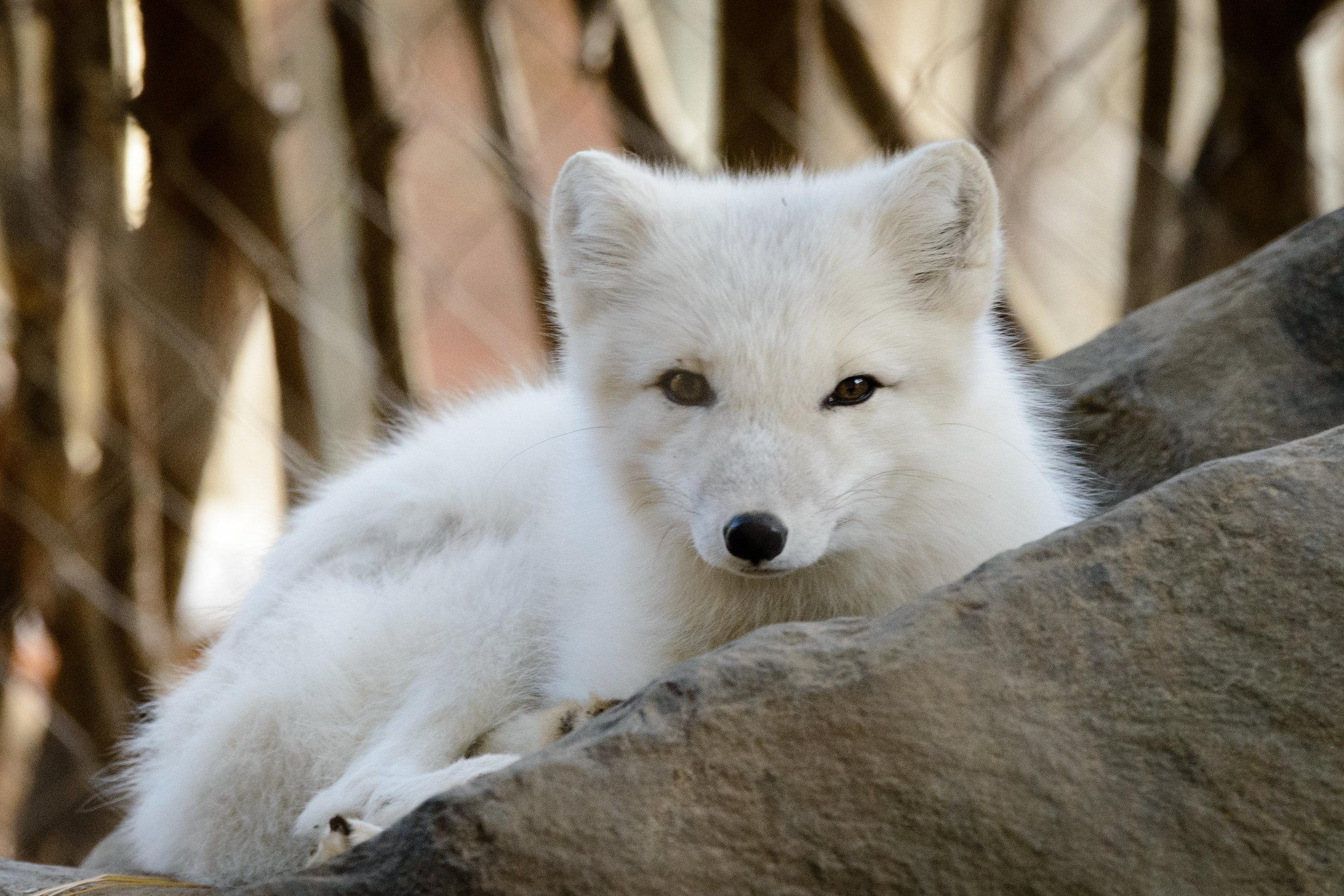 Arctic Fox.  2012. Eric Kilby on  Flickr.  Under  Creative Commons 2.0