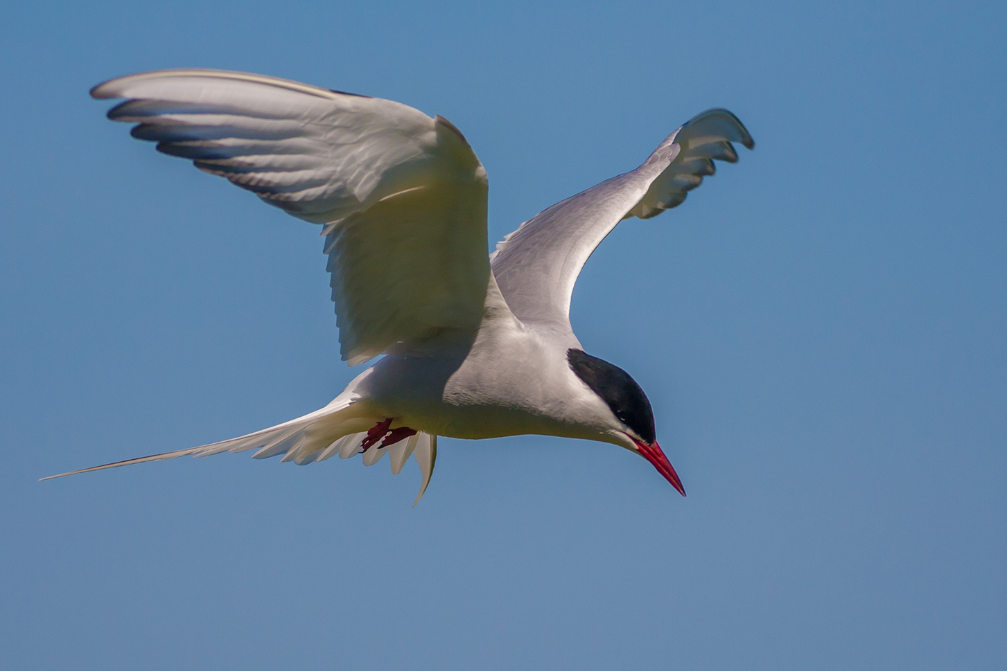 Arctic Tern . 2014. Tony Smith on  Flickr . Under  Creative Commons 2.0