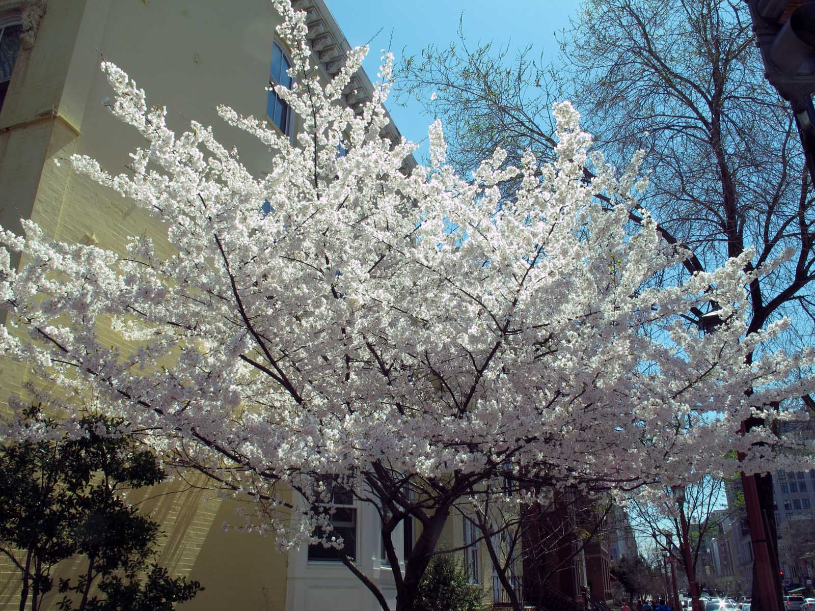 The blooming of the various trees in the suburbia of Washington D.C. during the month of April is a sight to behold.