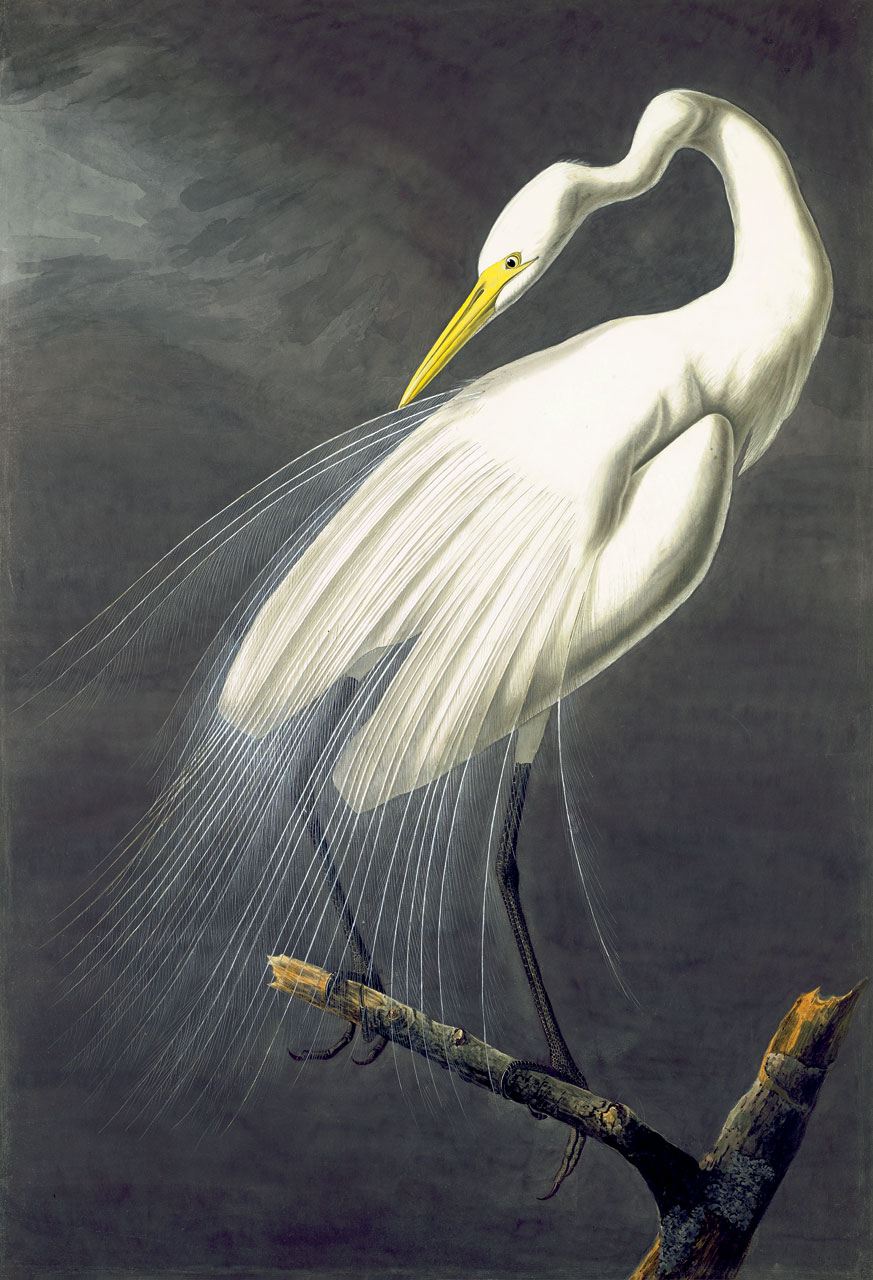 GREAT EGRET WATERCOLOR ( Ardea alba ) by John James Audubon, 1821.  Purchased for the New-York Historical Society by public subscription from Mrs. John J. Audubon, 1863.  The National Audubon Society adopted a flying Great Egret, one of the chief victims of turn-of-the-century plume hunters, as its symbol in 1953. The sheer splendor of their aigrettes positioned the Great Egret on the edge of extinction by the early twentieth century. With conservation laws, the species has rebounded.