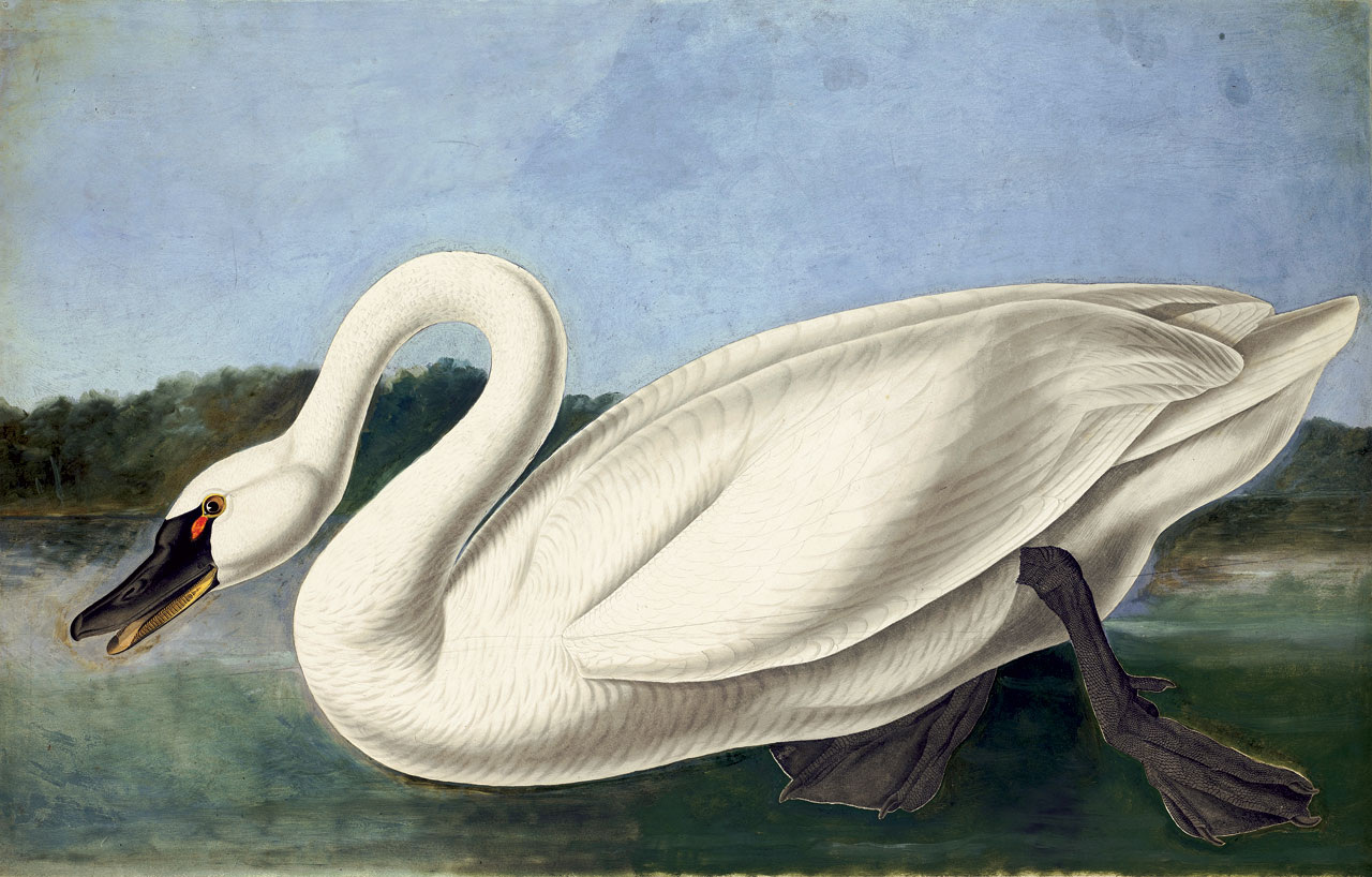 TUNDRA SWAN WATERCOLOR (Cygnus columbianus) by John James Audubon.  Purchased for the New-York Historical Society by public subscription from Mrs. John J. Audubon, 1863.  Tundra Swans once nested over most of North America, but disappeared rapidly as civilization advanced westward. By the 1930s, fewer than one hundred remained south of Canada. With protection from hunting and the disturbance of plumers, northwestern populations have rebounded. Today, their population is stable enough to sustain a limited hunting season in some areas.