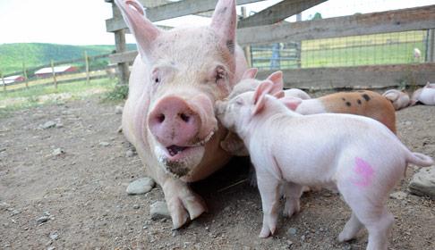Pig love!