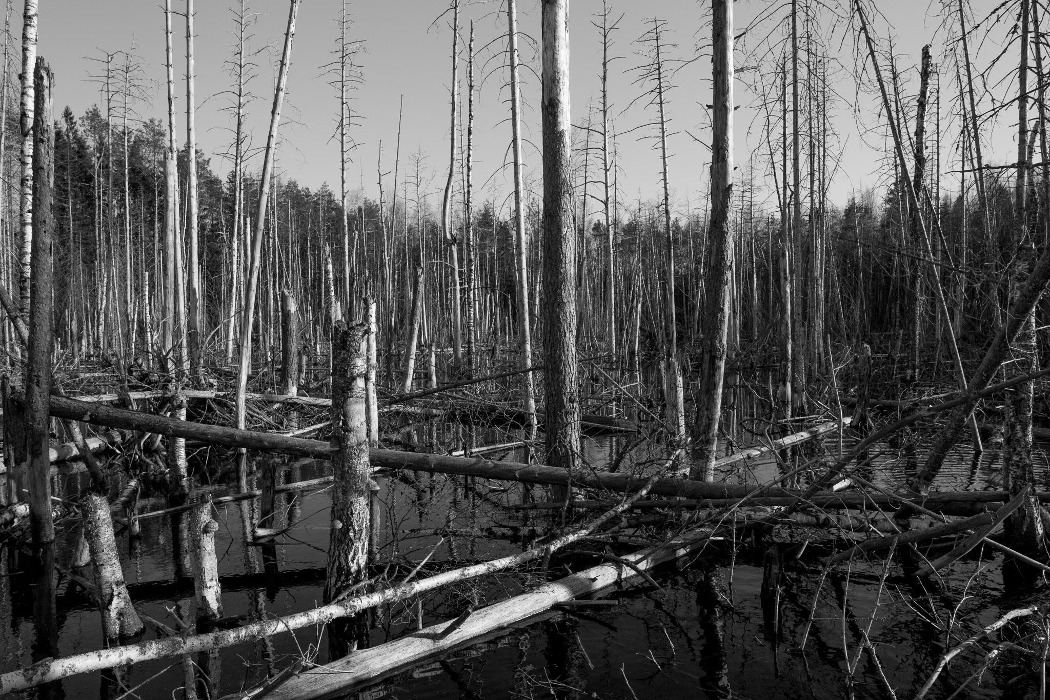 Deadwood over Collapsed Ahtme Mine