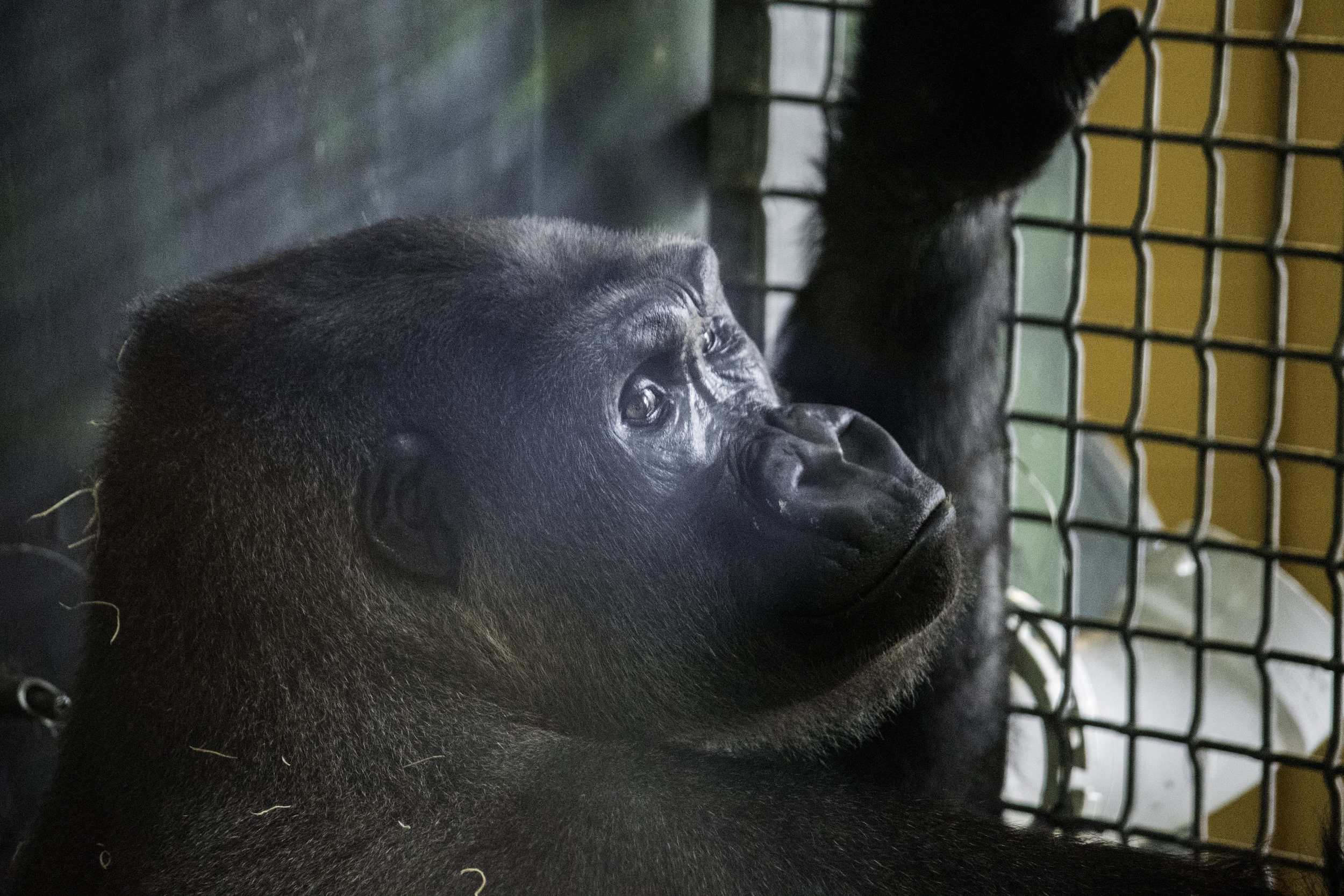 gorilla 2 under 20.jpg