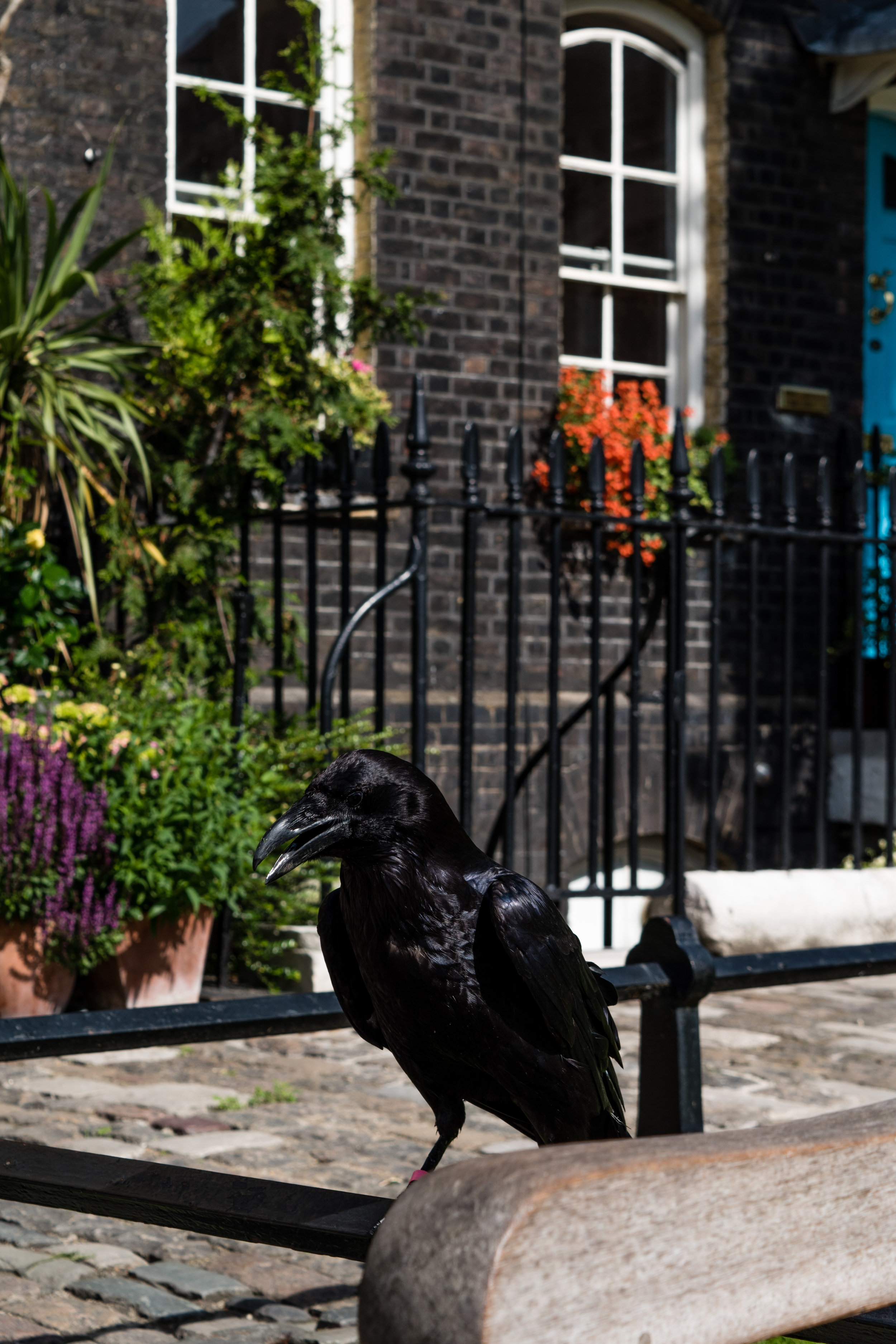 tower of london raven jpg.jpg
