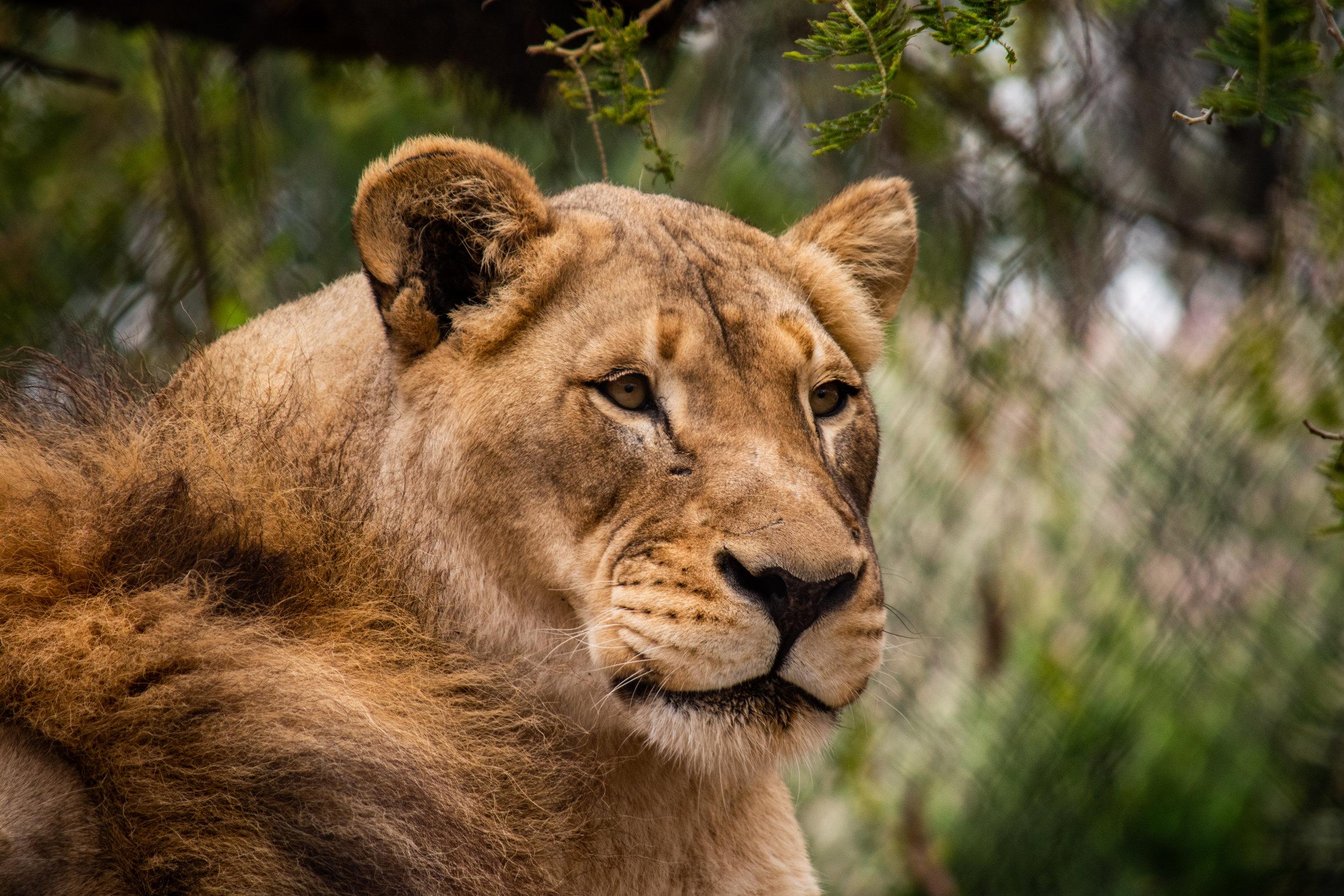 zoo 72 Nala.jpg