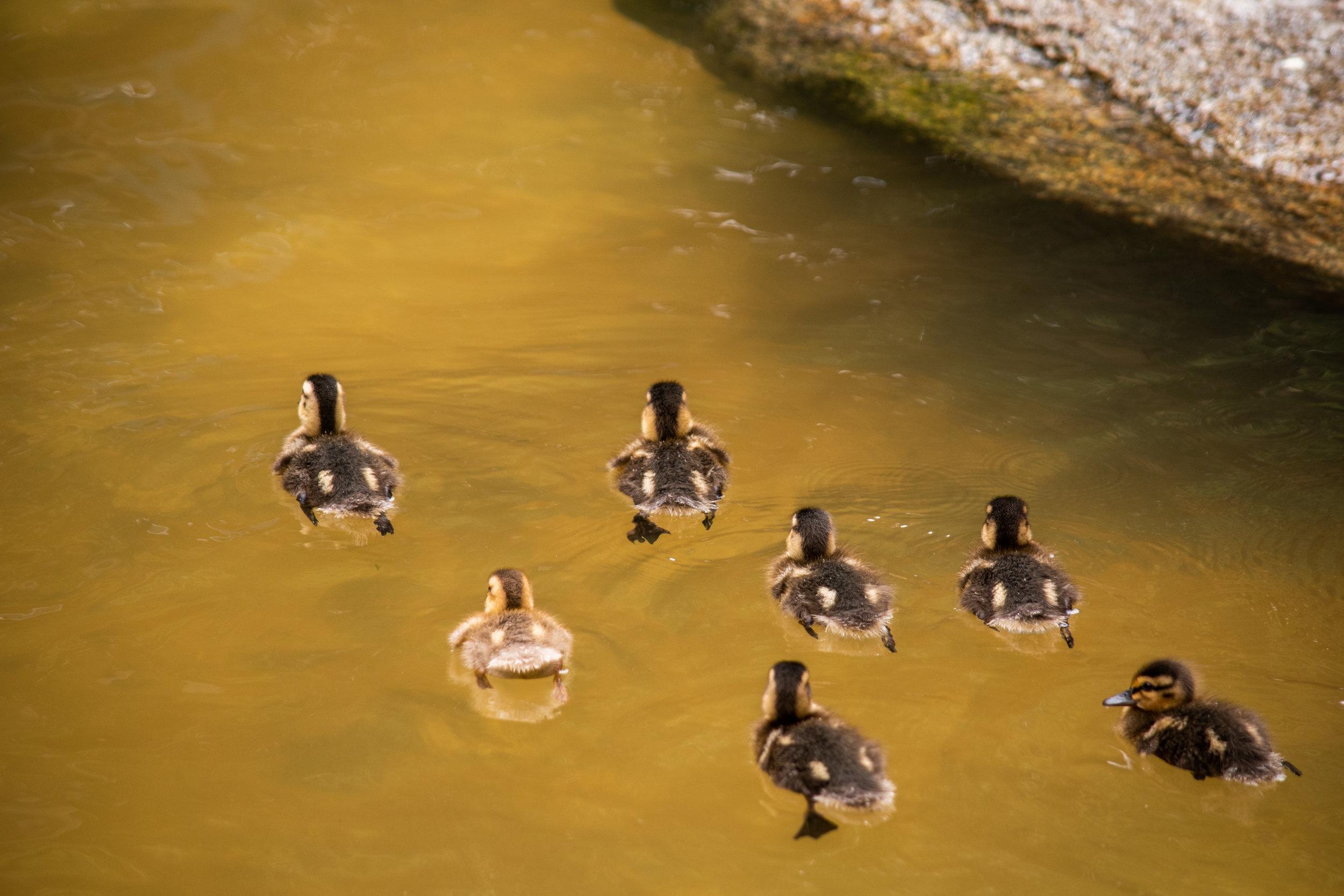 zoo 41 - duck squad.jpg