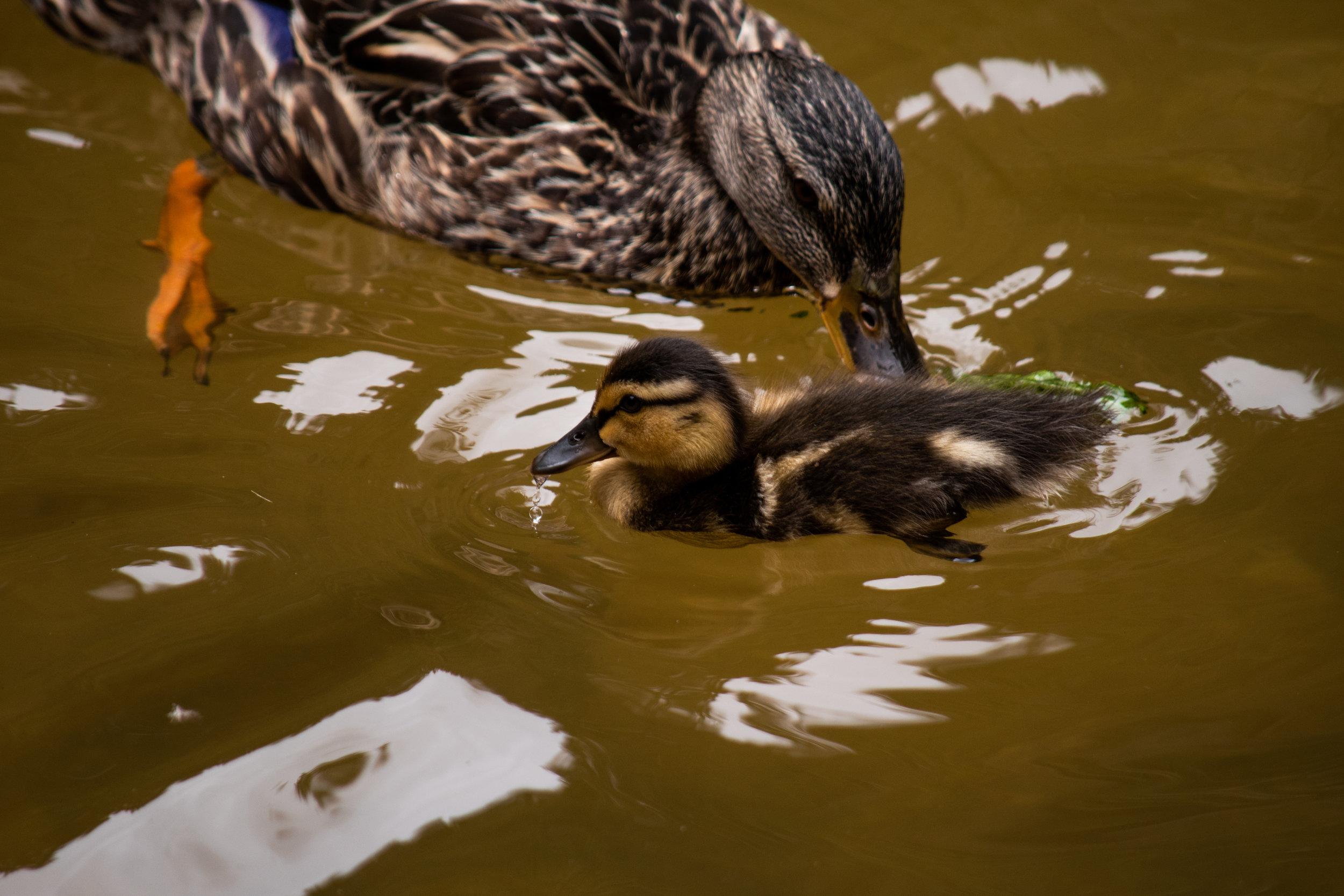 zoo 40 - duck 1.jpg