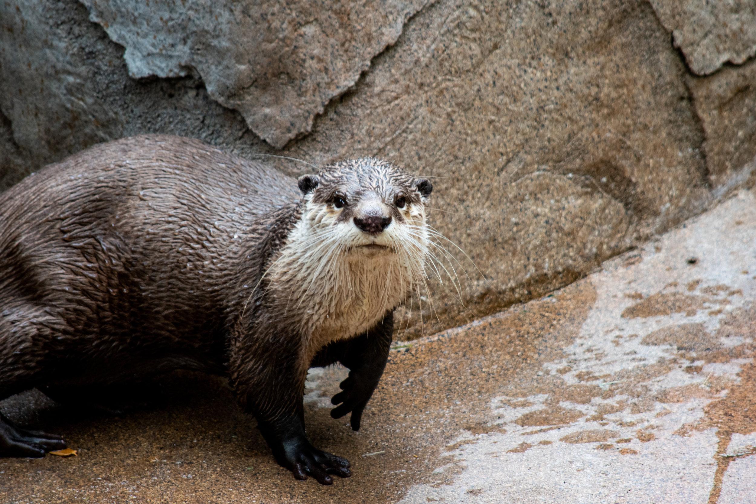 zoo 39 - otter staring.jpg