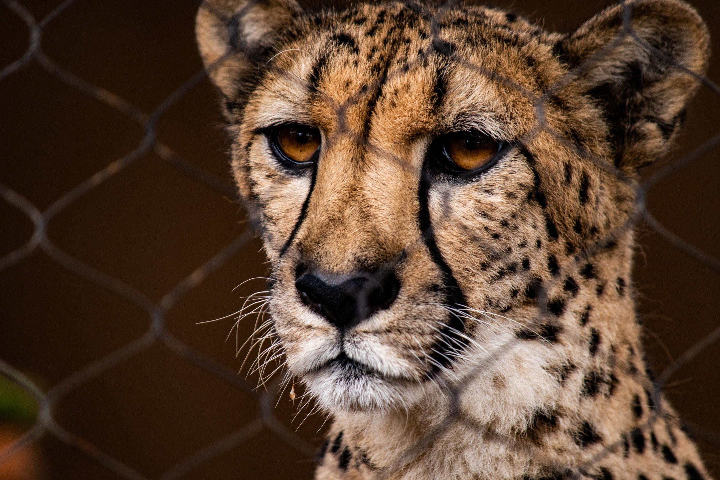 dog and cheetah 4.jpg