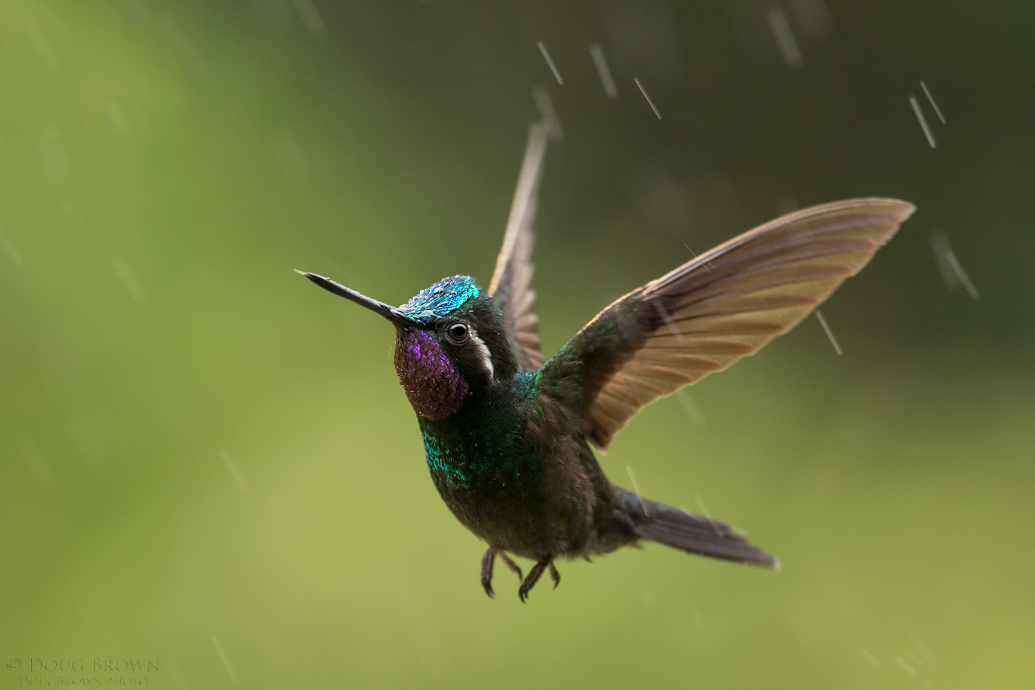 Purple-throated Mountain-Gem in some fairly heavy rain. Photographed with the 150-600 Contemporary at 388 mm and the Canon 1Dx (f/6.3, 1/500, ISO 1600, hand held).