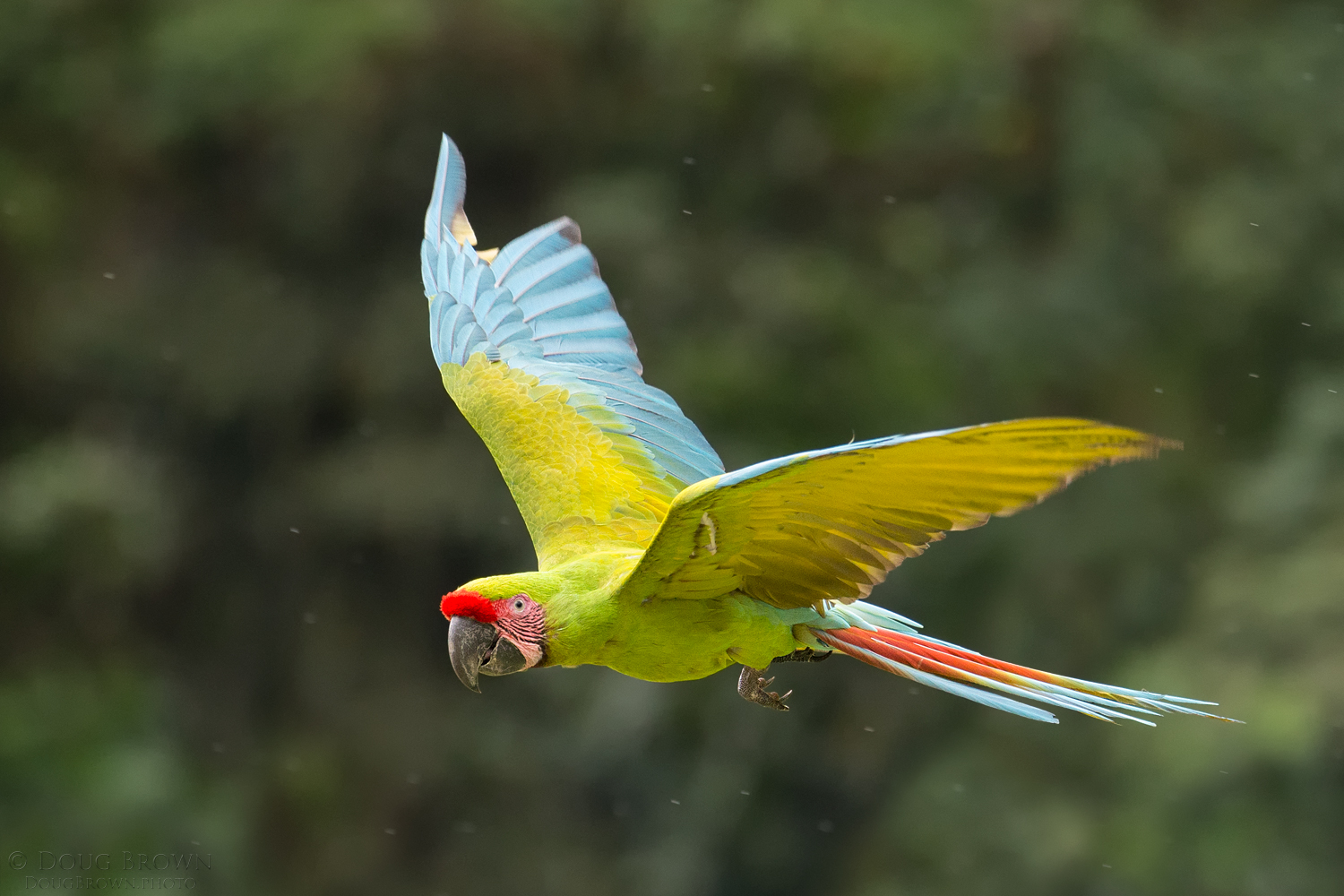 Great Green Macaw in flight. I used the 150-600 Contemporary at 374 mm and the Canon 1Dx to capture this endangered bird as it flew past me (f/.3, 1/1250, ISO 4000, hand held).