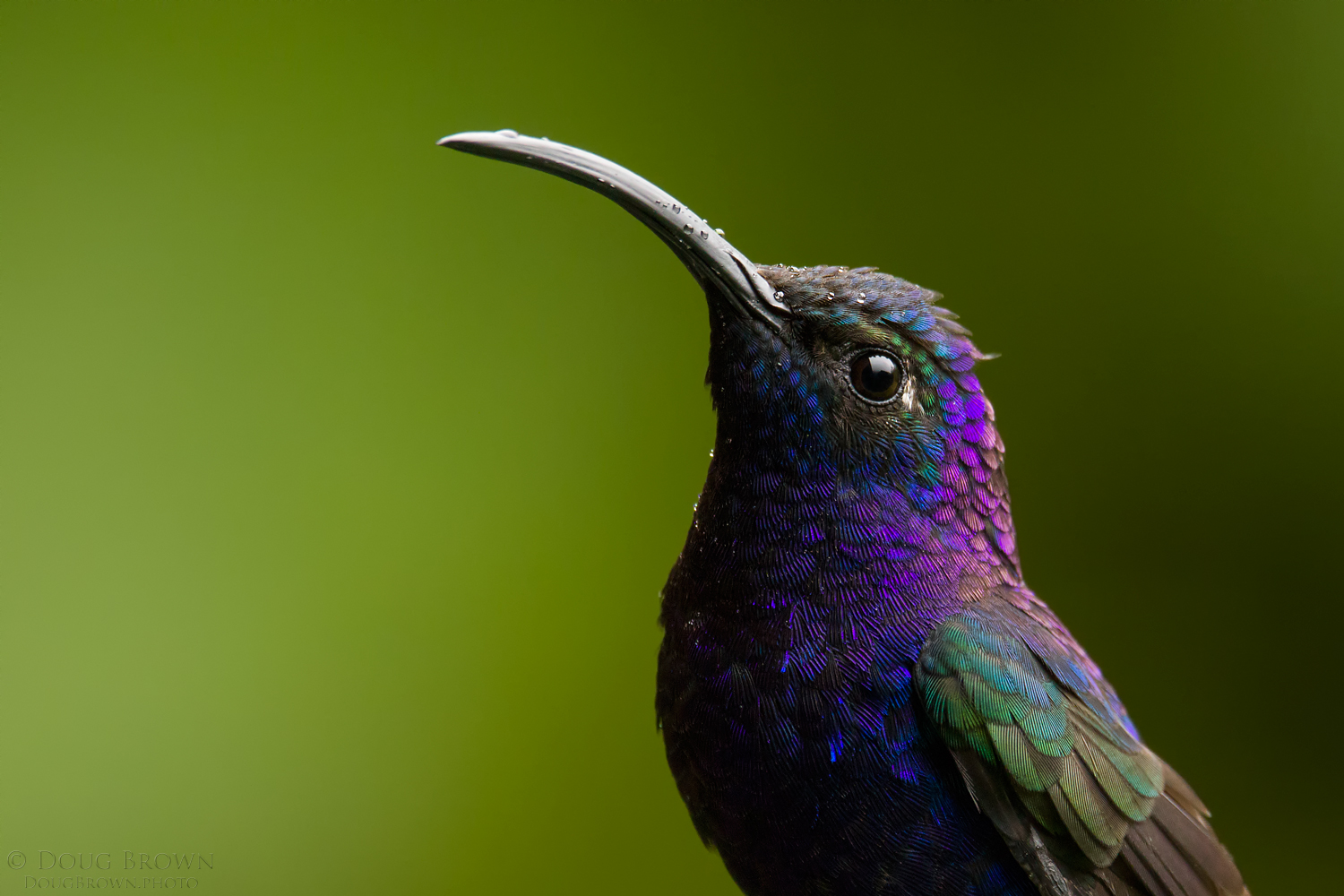 This Violet Sabrewing portrait was captured during our Costa Rica workshop. The image was shot with the 150-600 Contemporary at 600 mm and the Canon 7D Mark II (f/7.1, 1/250, ISO 2000, hand held).