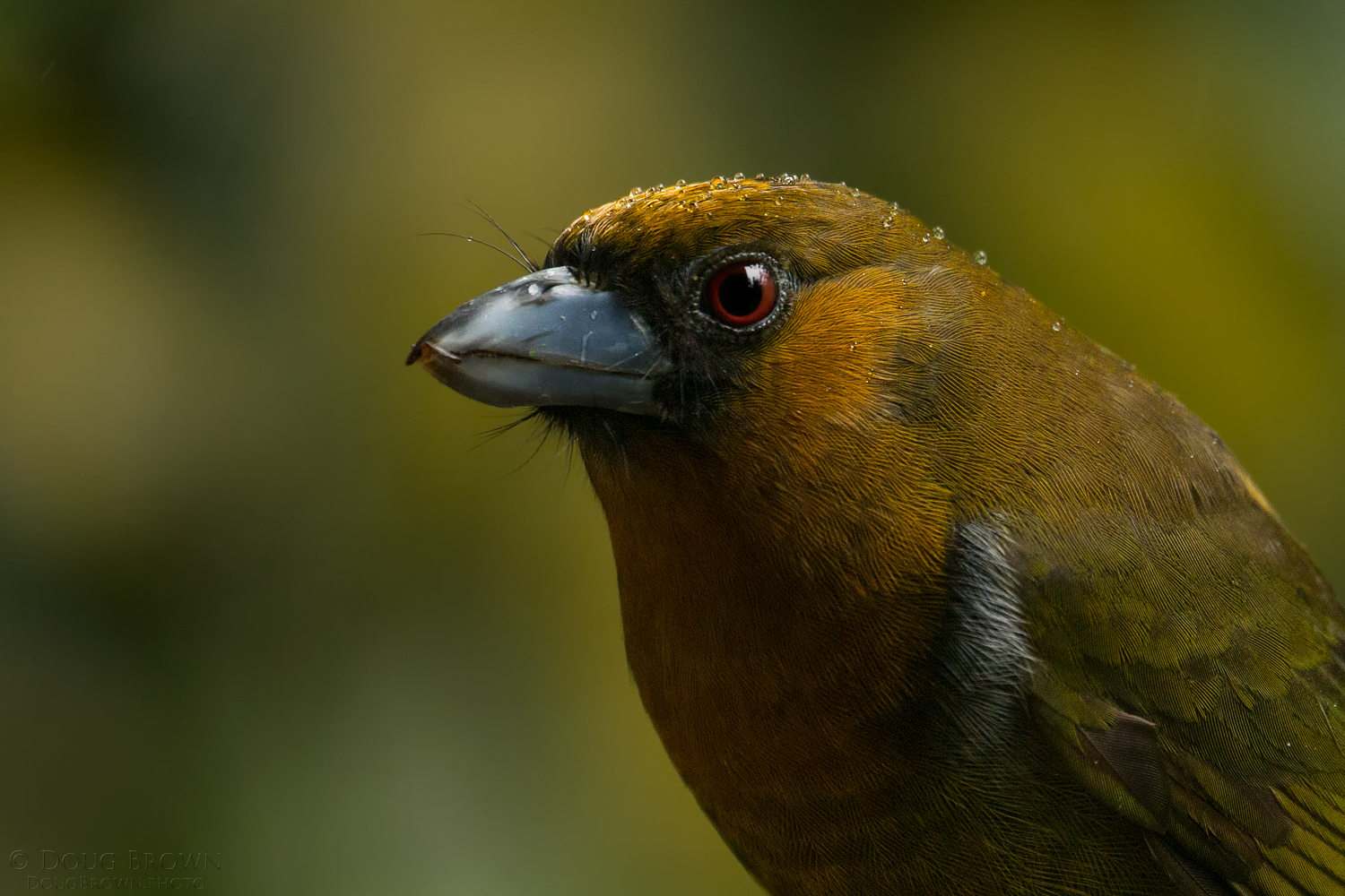 Here's a Prong-billed Barbet photographed in Costa Rica during our recent workshop. For this shot I used the 150-600 Contemporary at 600 mm and the Canon 1Dx (f/6.3, 1/250, ISO 2000, hand held).