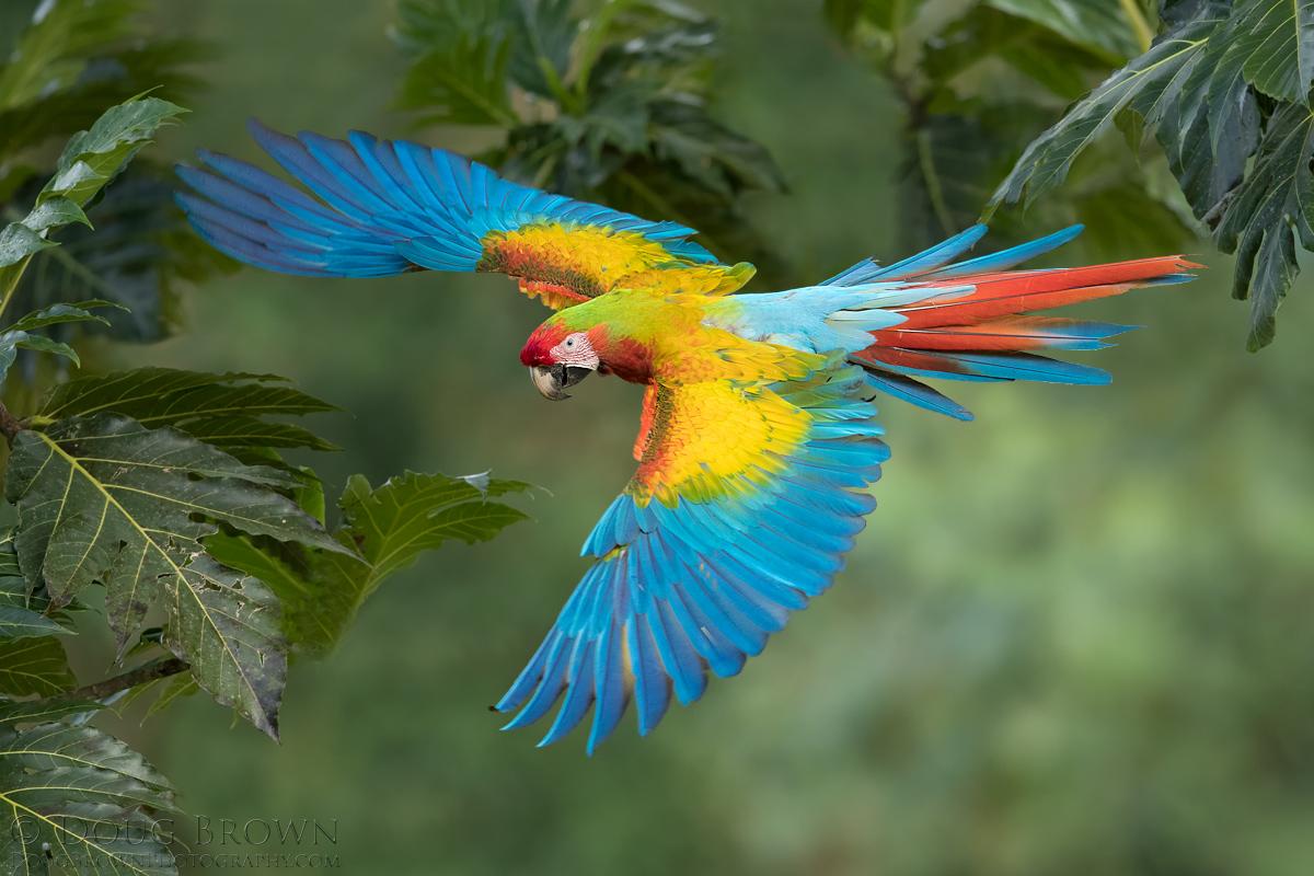 Hybrid Scarlet-Great Green Macaw