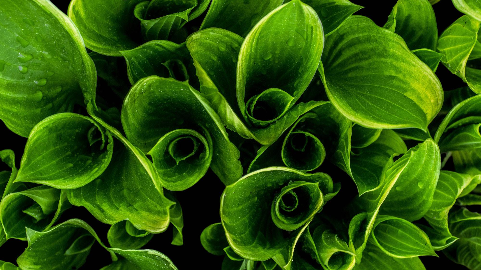 tops of green leaves.jpg