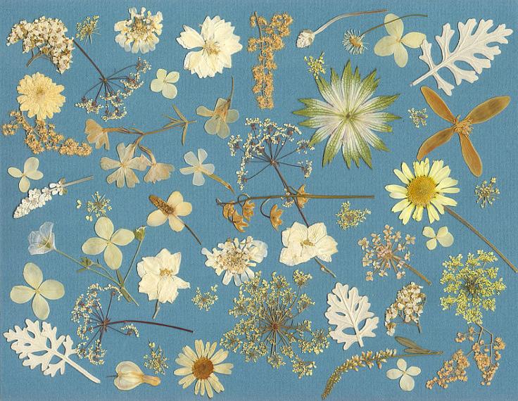 pressed-flowers