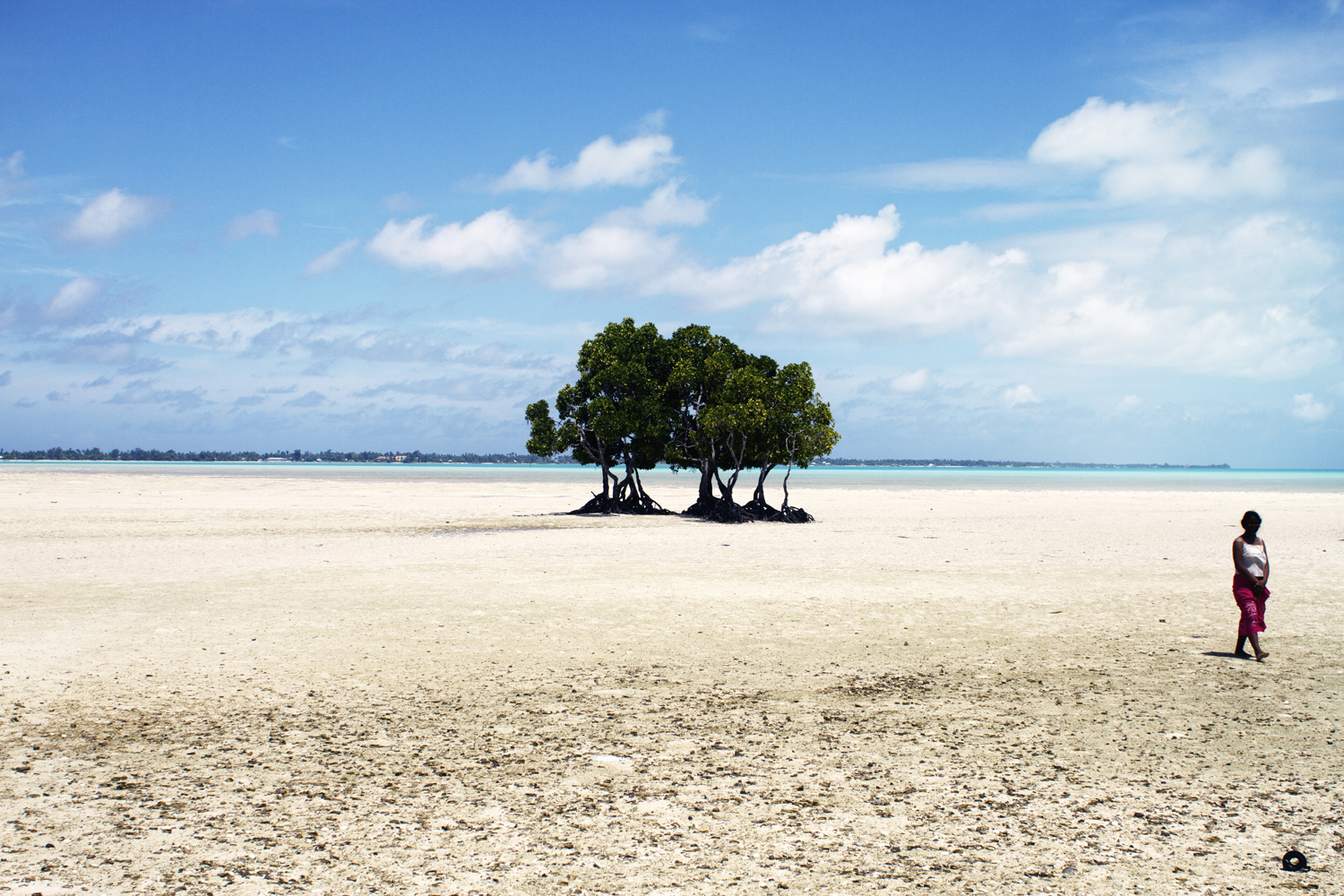 Mangrove tree in the village of Buota. The planting of the trees is a strategy by the government to try to hold the soil in place. Kiribati, Tarawa. 2010.