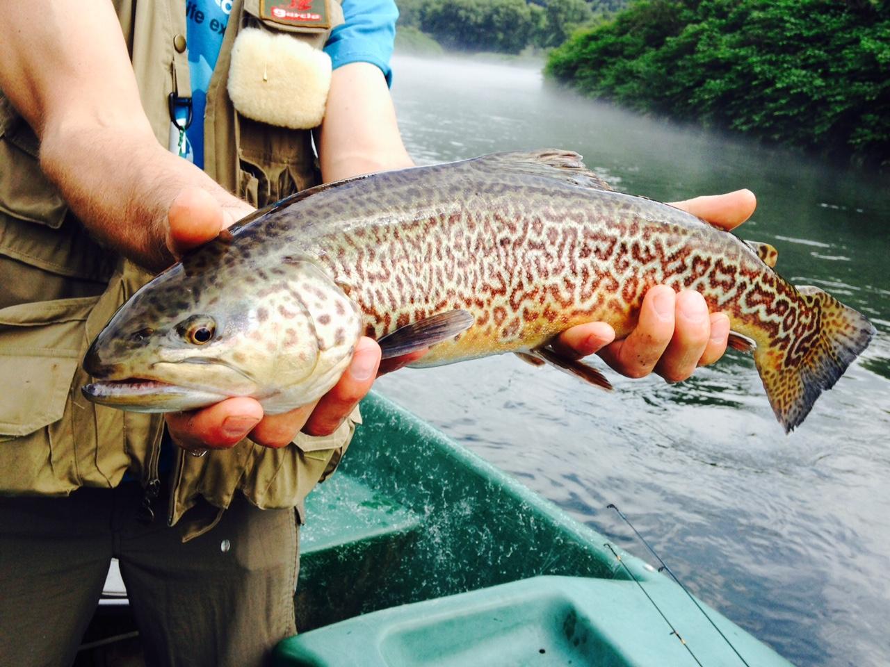 "7/7/15 John caught this rare 20"" Tiger trout! Beautiful Fish!"