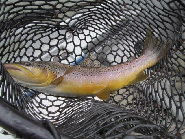 10/9/15Fall Pumpkin Brown Trout!
