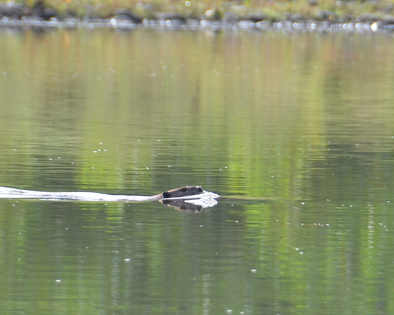 A Beaver swimming in the River.