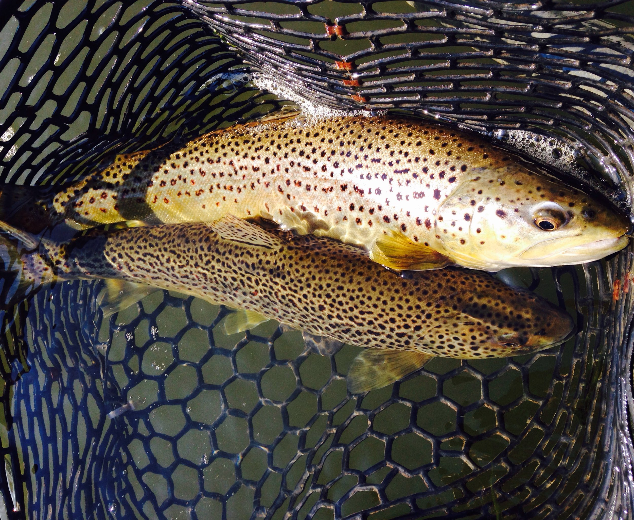 A heavy net, full of Brown trout.