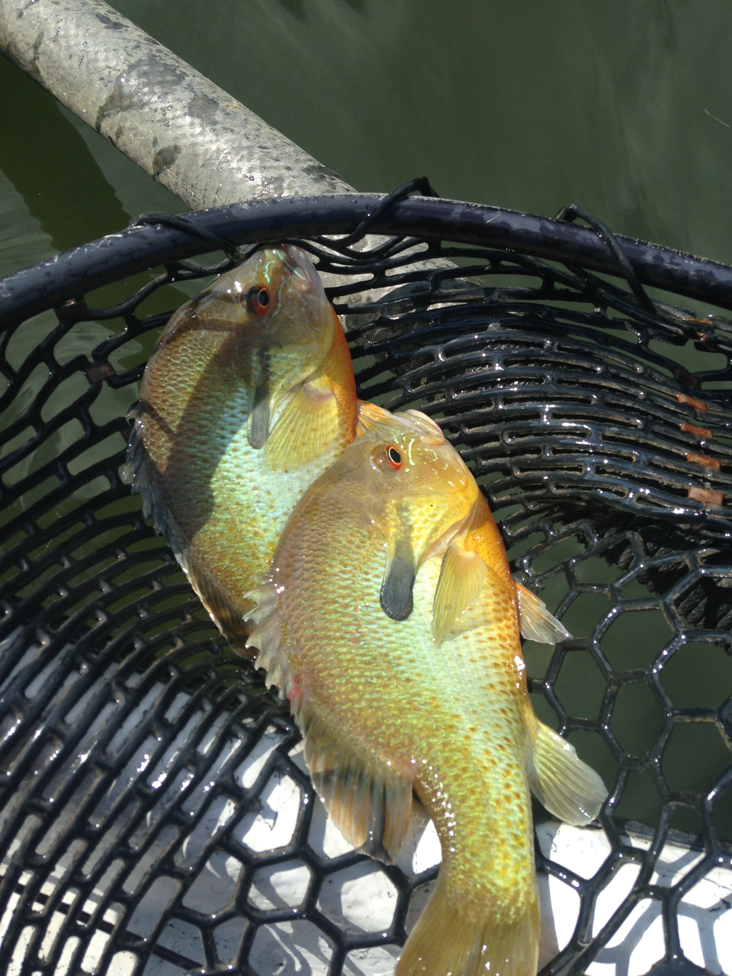 Two Beautiful river Sunfish!